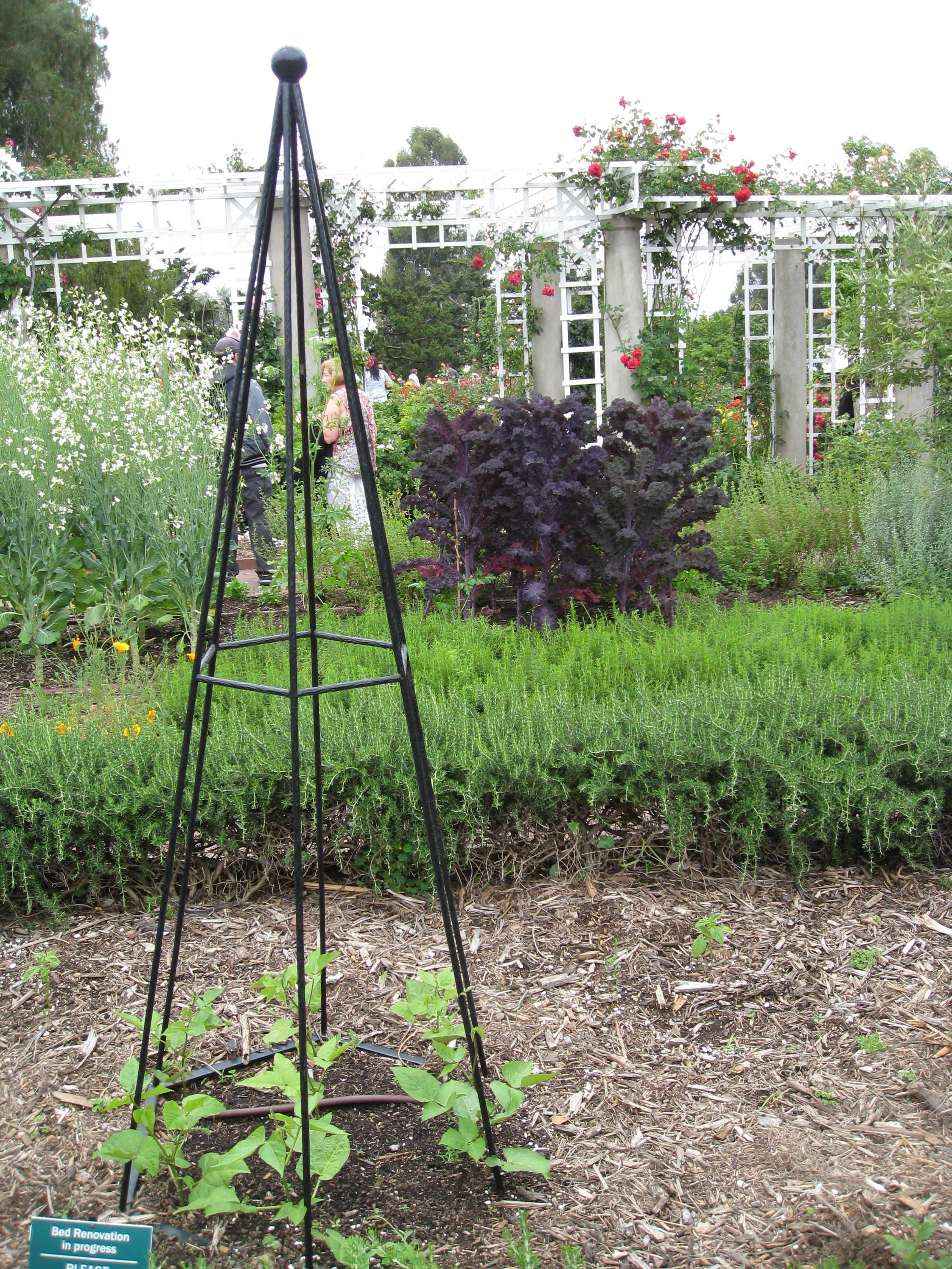 Beans begin their climb up a trellis as red kale bolts to seed. Old and new coexist in harmony.