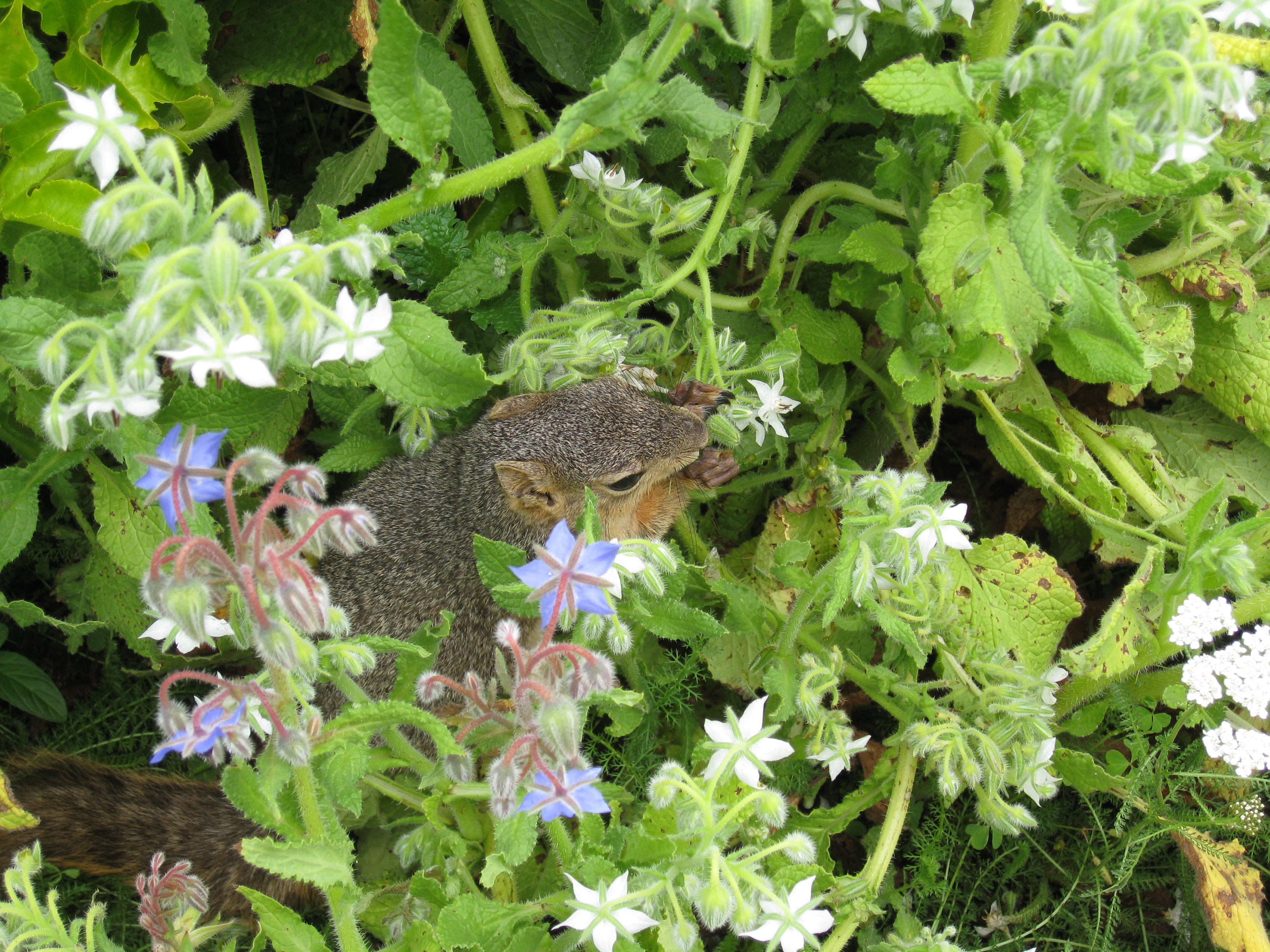 Who knew squirrels loved borage so much? This one couldn't get enough of the blossoms.