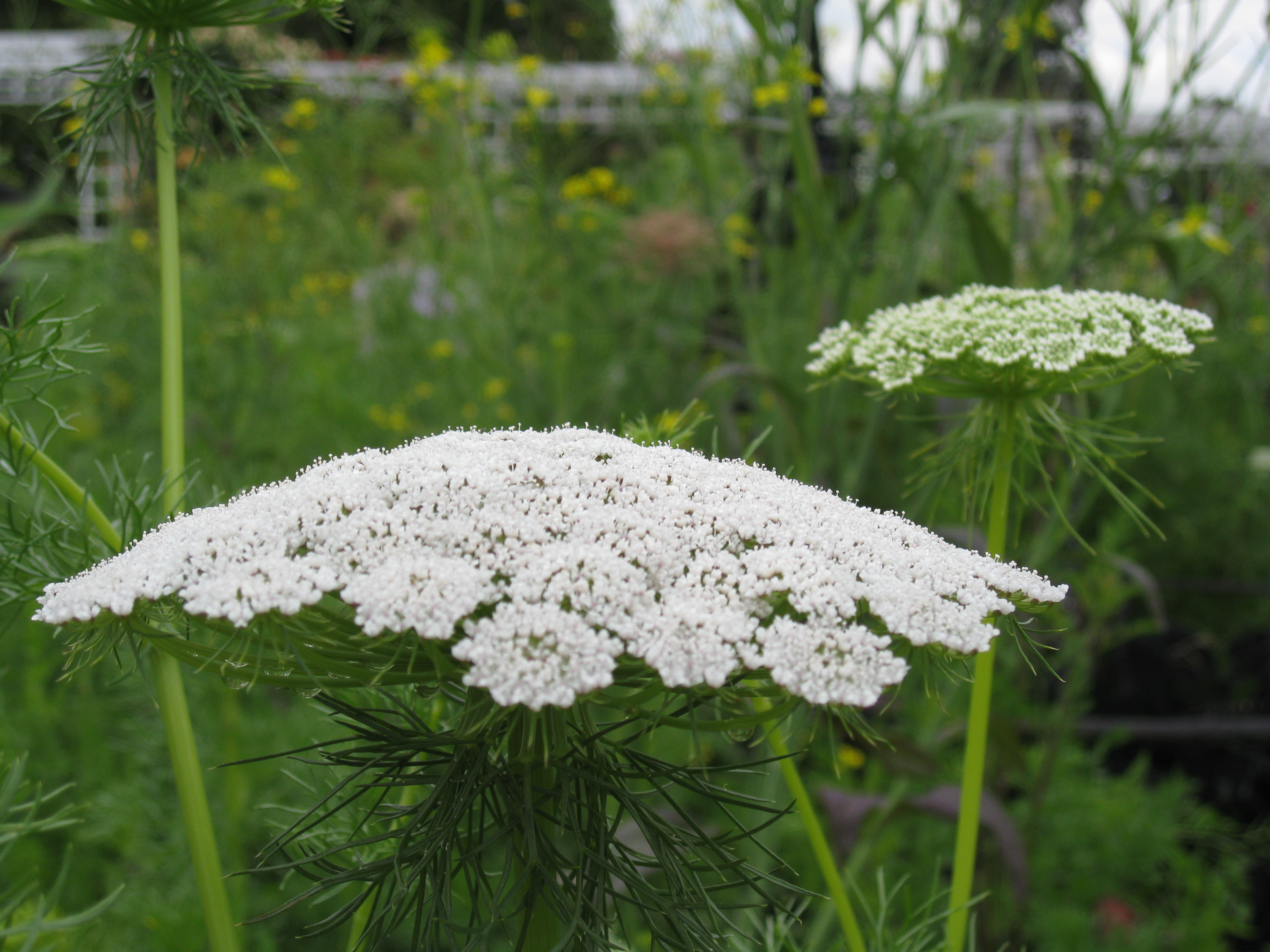 Queen Anne's Lace blossomed at eye-level.