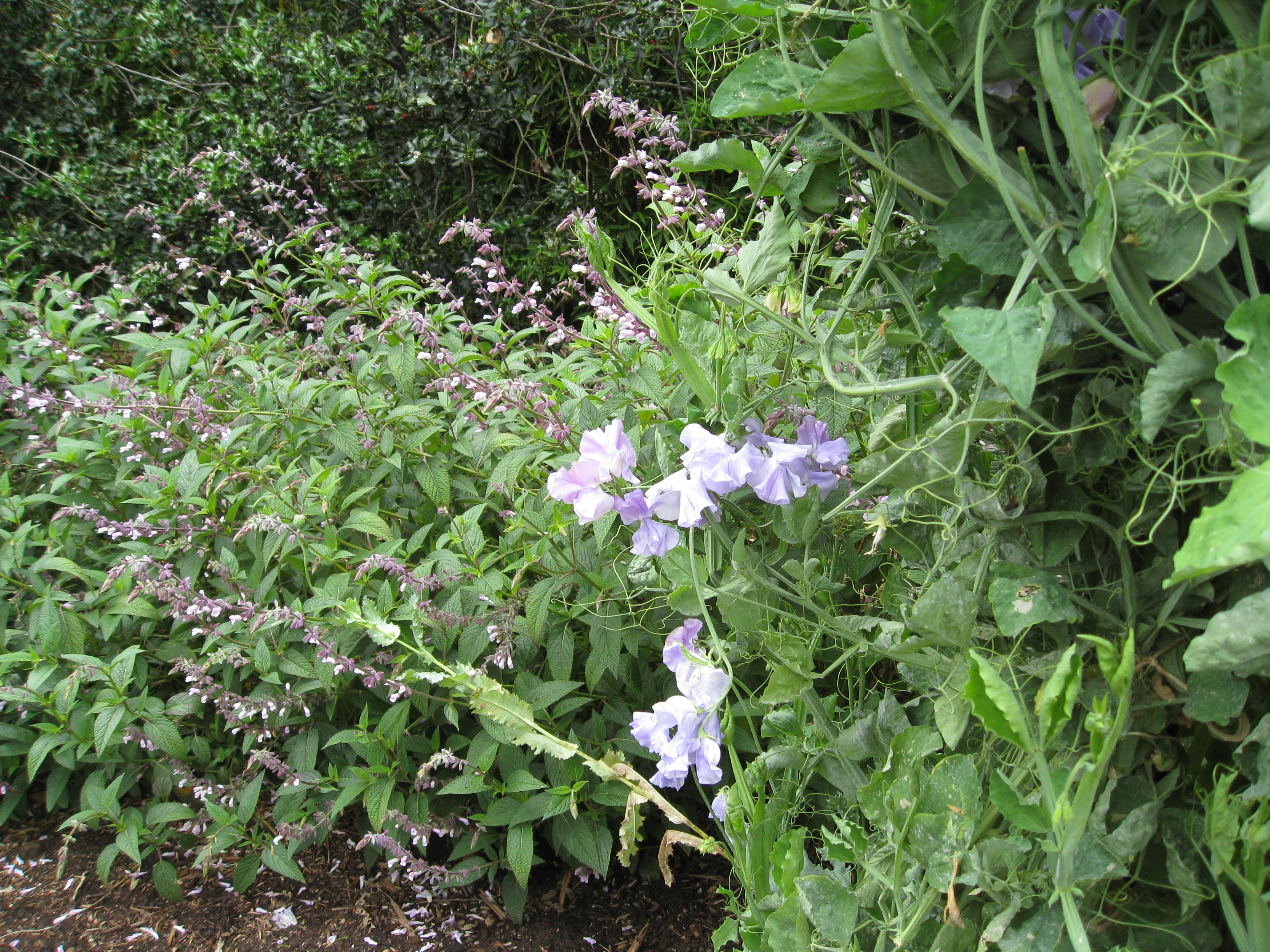 Salvia and sweet peas provide food for bees and other pollinators.