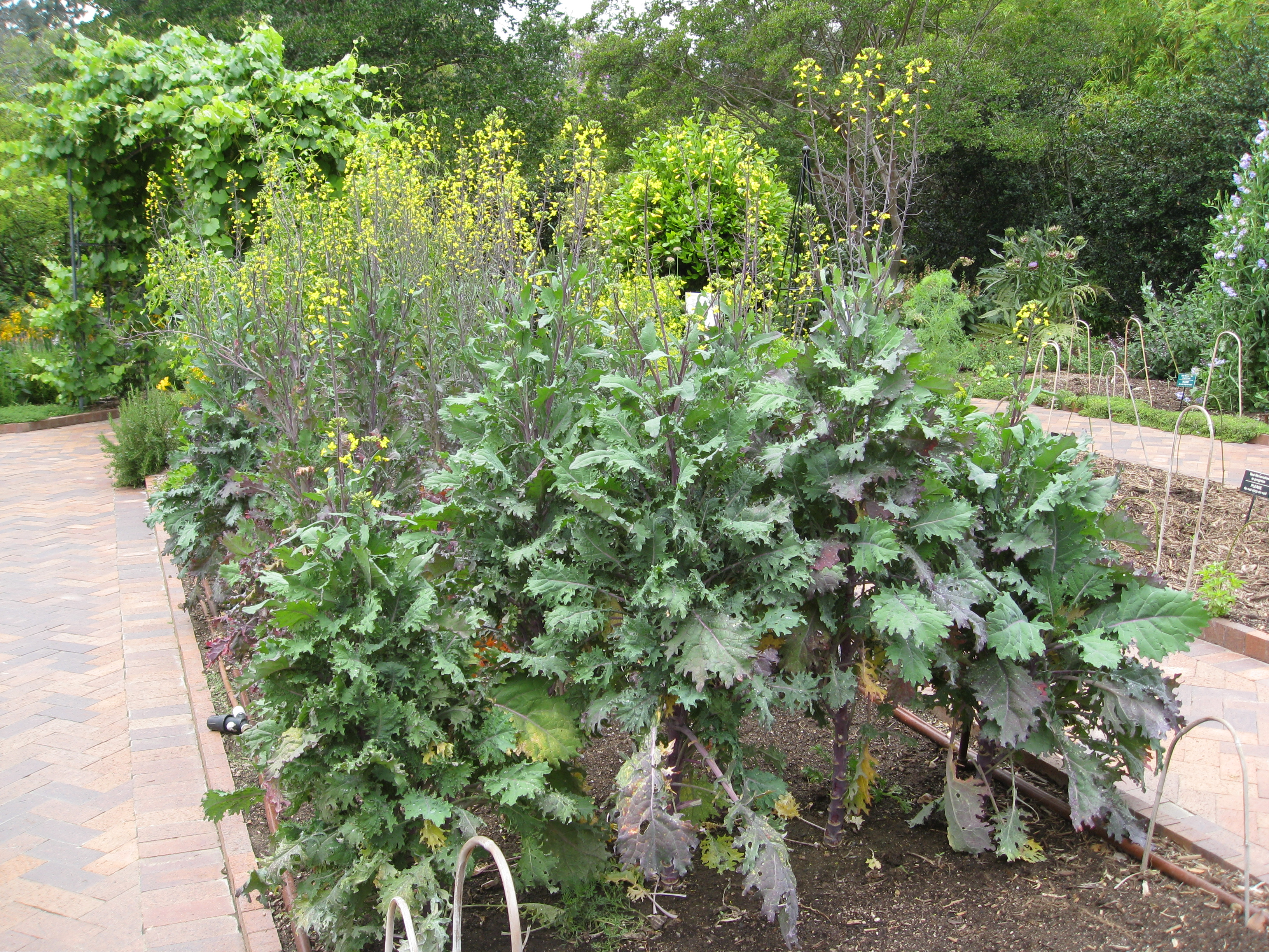 Kale bolts to seed and will soon make way for other plants in the garden.
