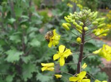 The bees enjoyed the flowers of bolting kale and mustard greens.