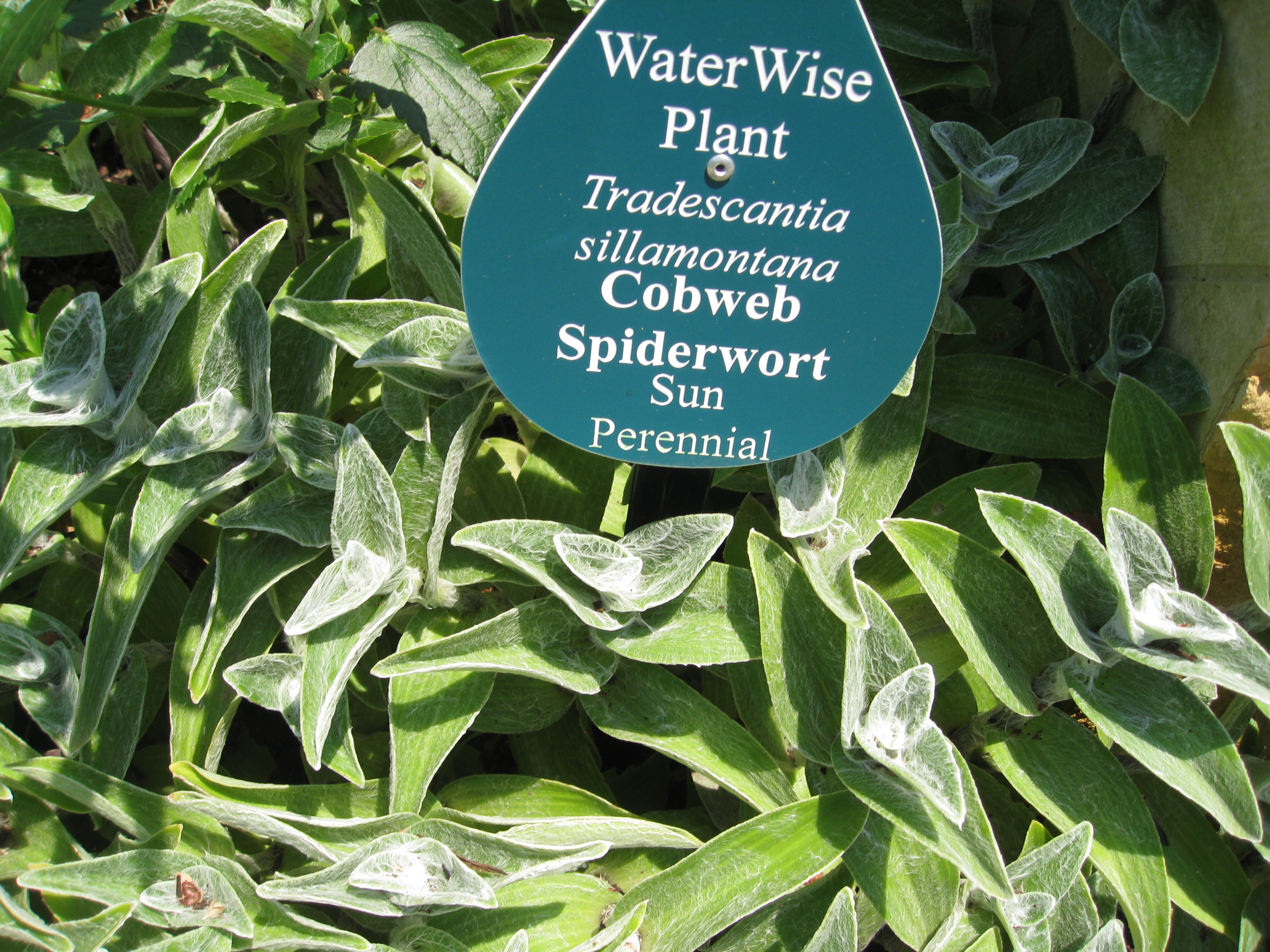 Cobweb Spiderwort is an unusual and macabre water-wise plant.
