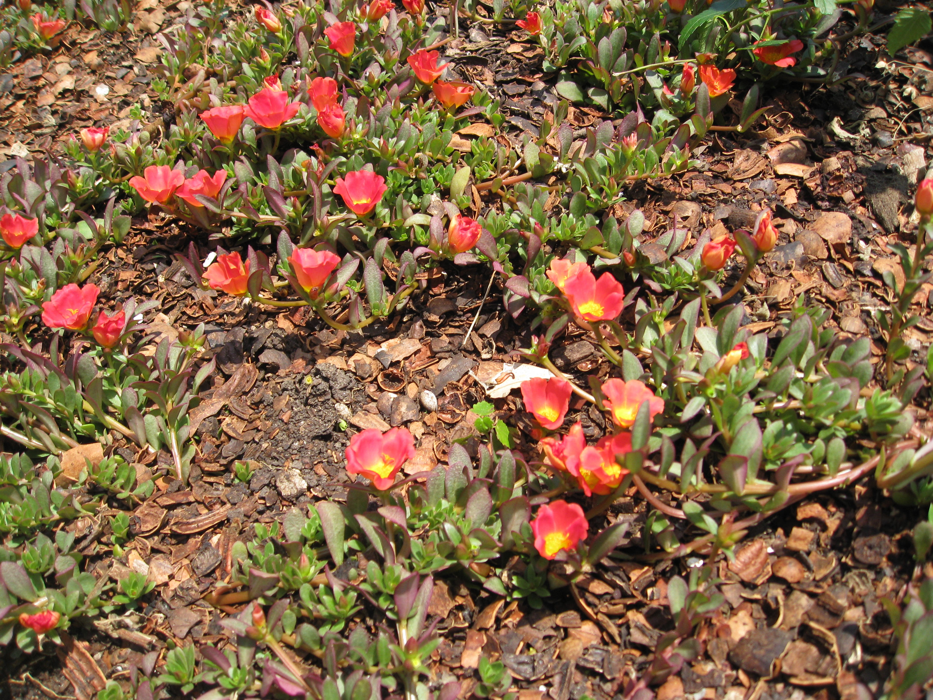 Yellow and orange/red purslane makes a good ground cover.
