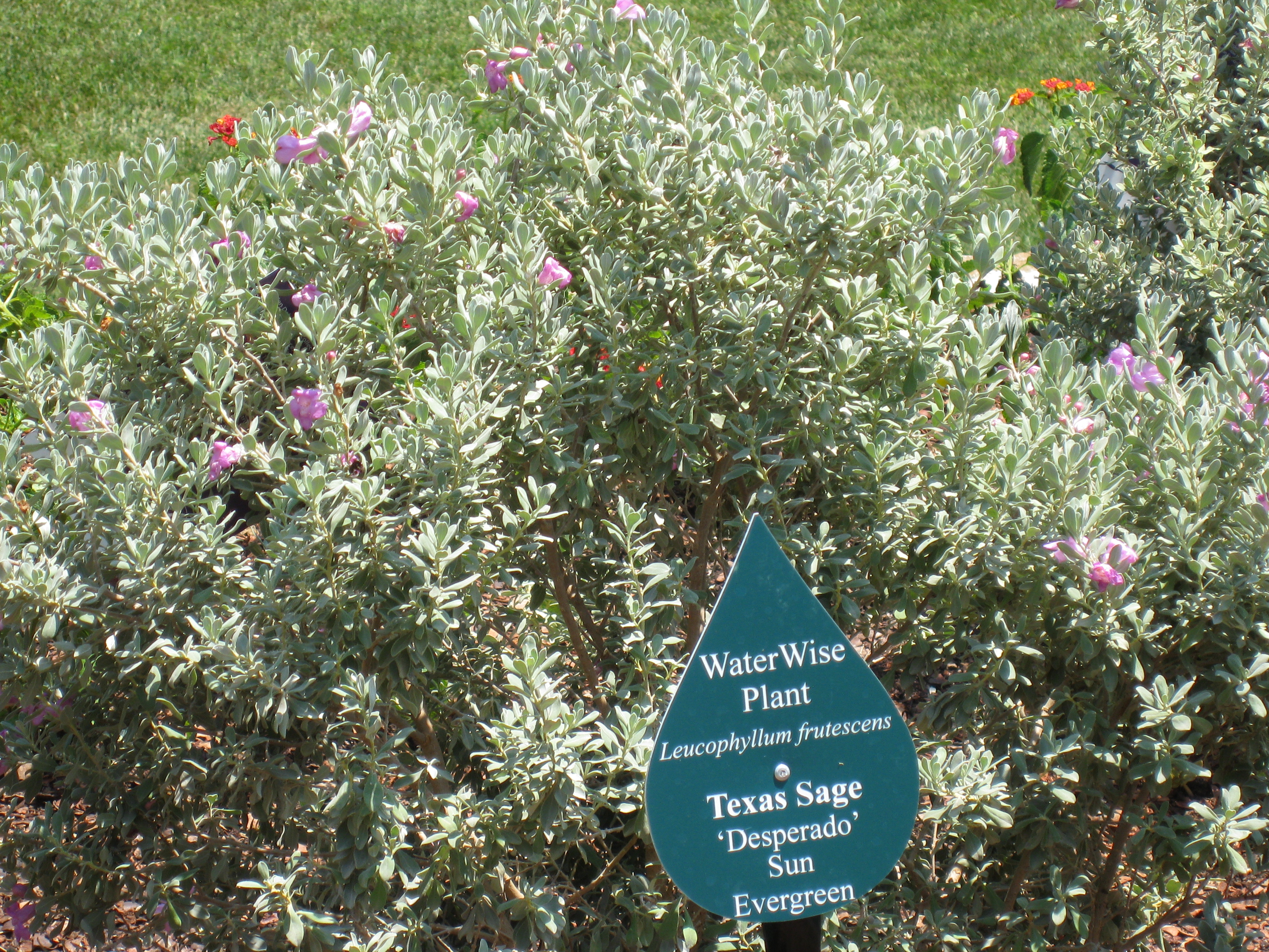 Texas Sage is one of many sages that do well in Texas.