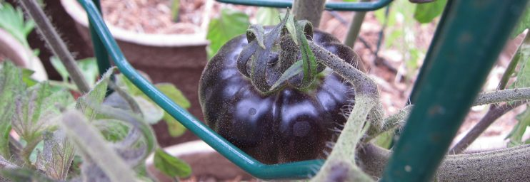 Blue Beauty tomato shows true blue. We just fed the tomatoes with compost tea.