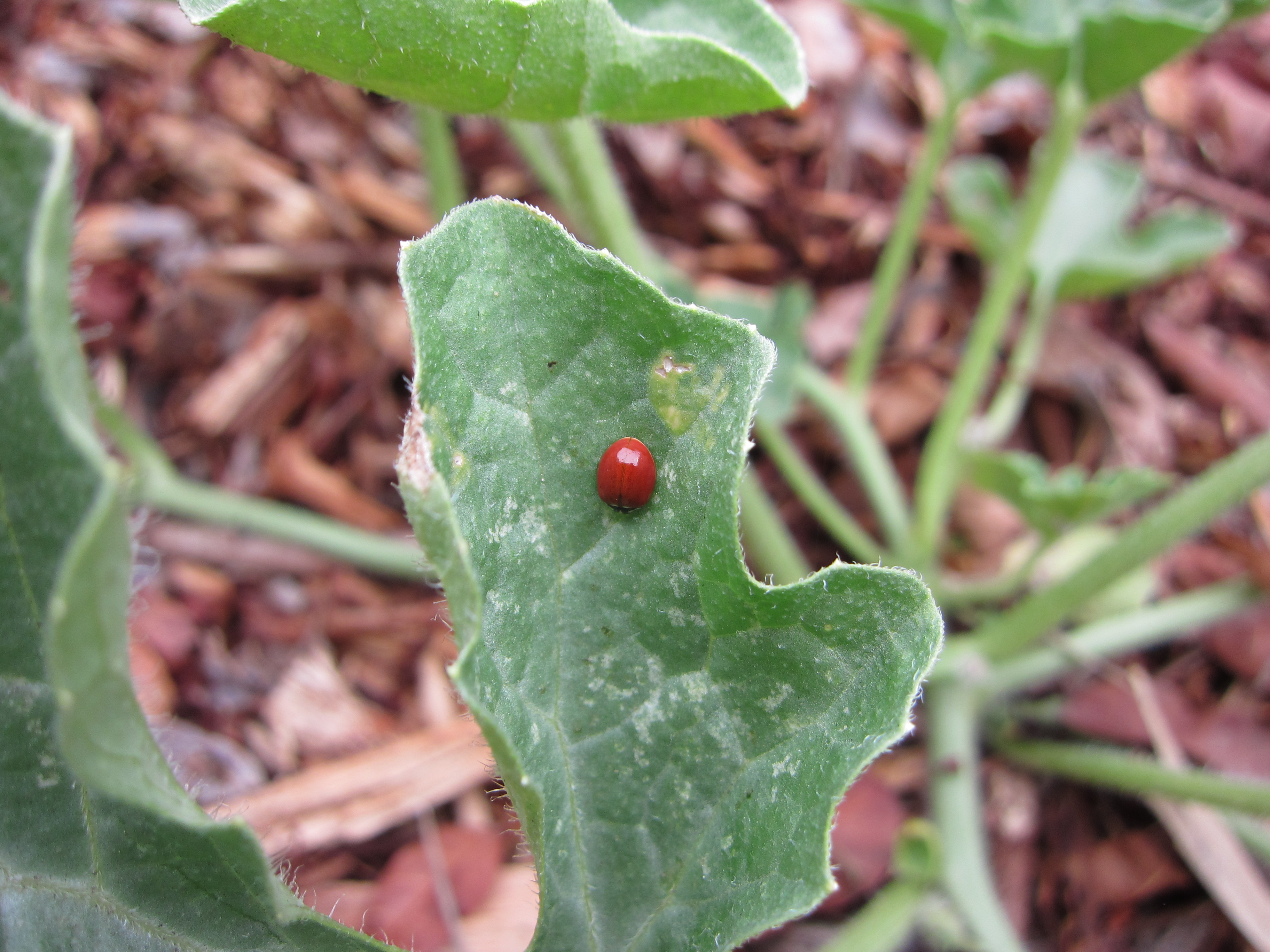 A ladybug on our volunteer watermelon plant. Nearby borage and cilantro help bring them to the garden.
