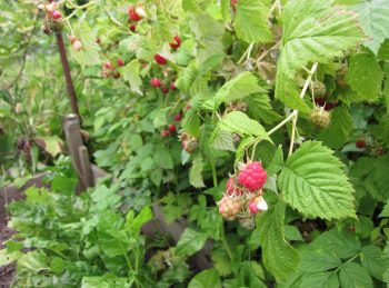 Brambles of black and raspberries lined pathways.