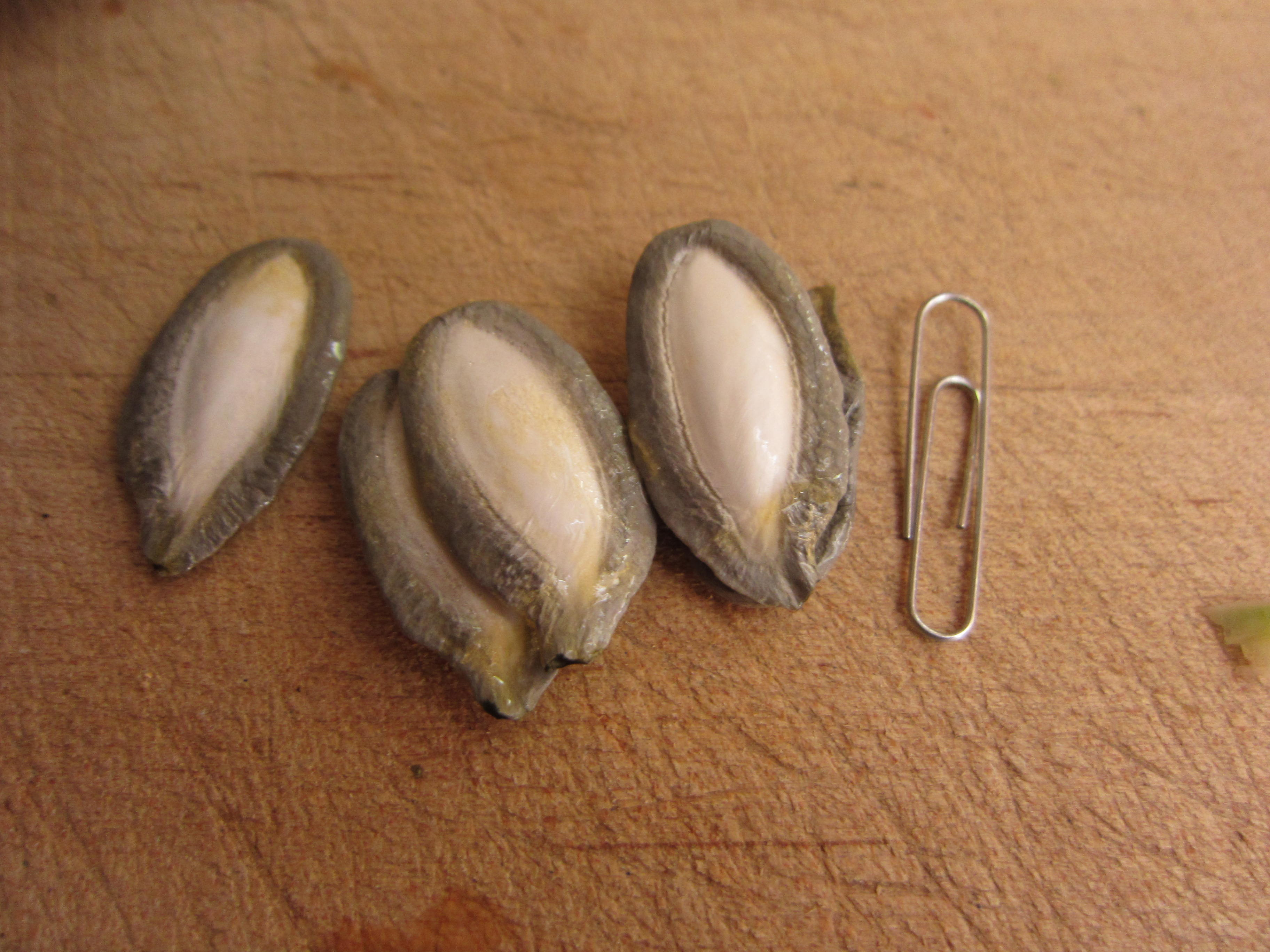 The seeds are huge, the size of a standard paper clip. They tower over regular pumpkin seeds.