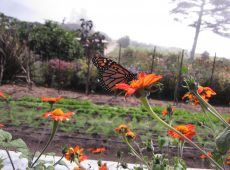 Monarchs love all the flowers on site.