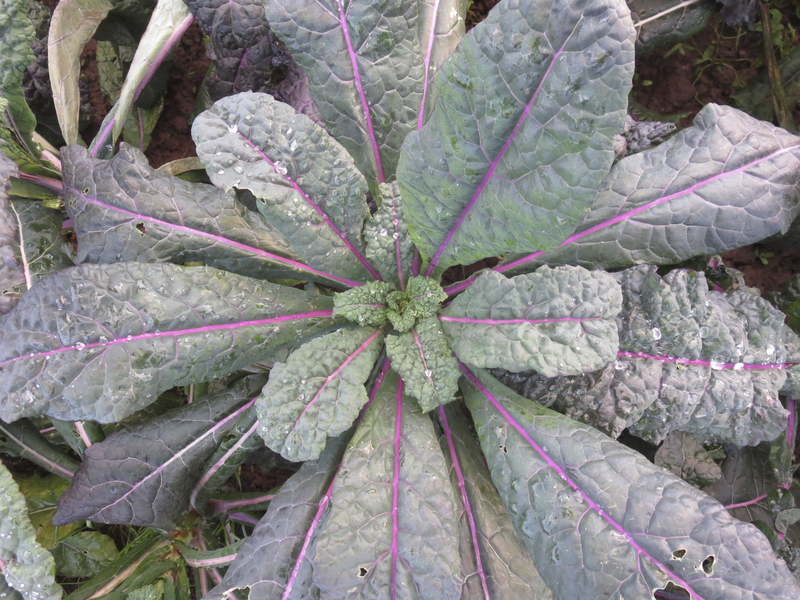 Dazzling Blue Kale, the best of both worlds.