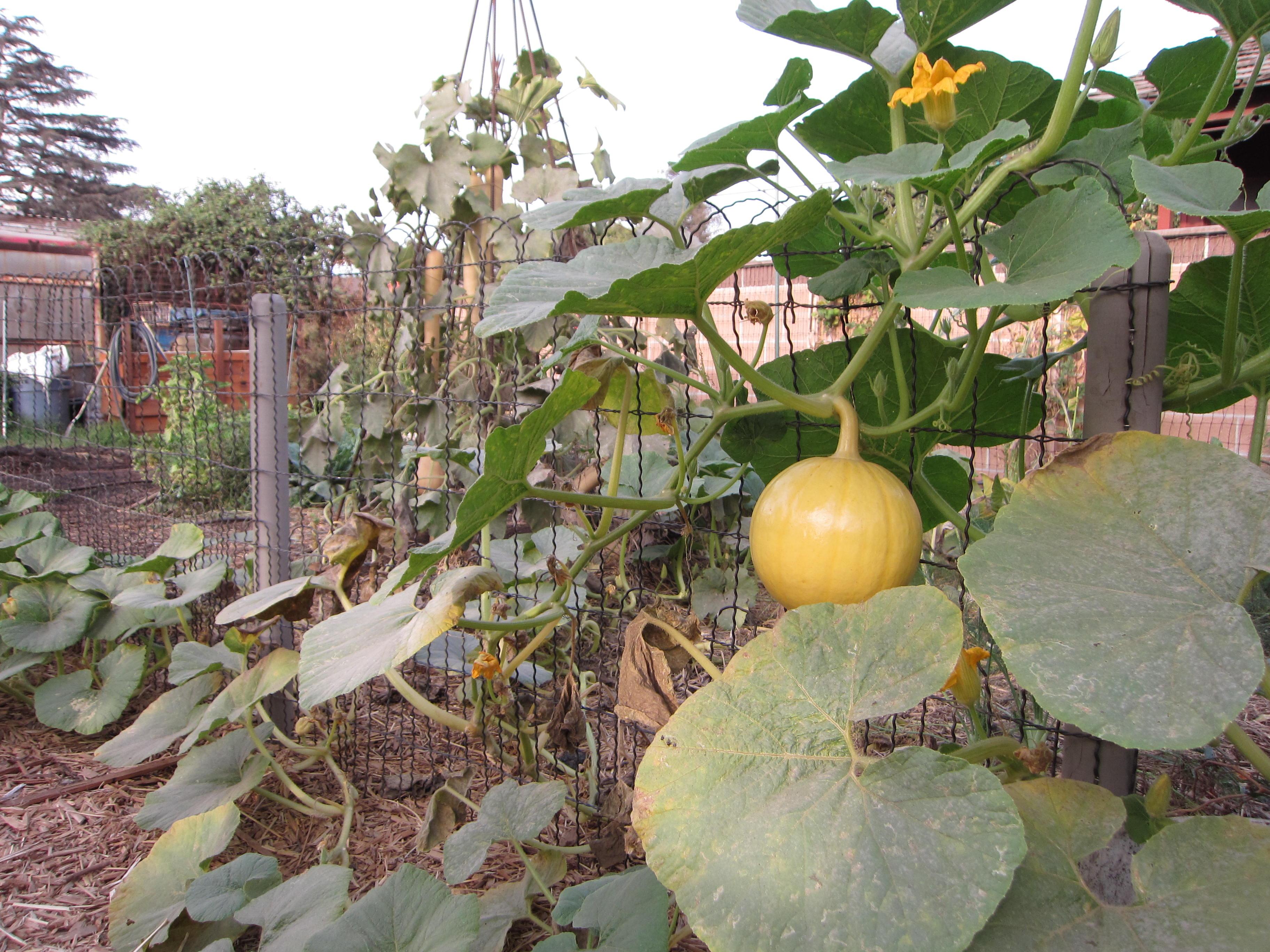 Pumpkins climb the garden fence.