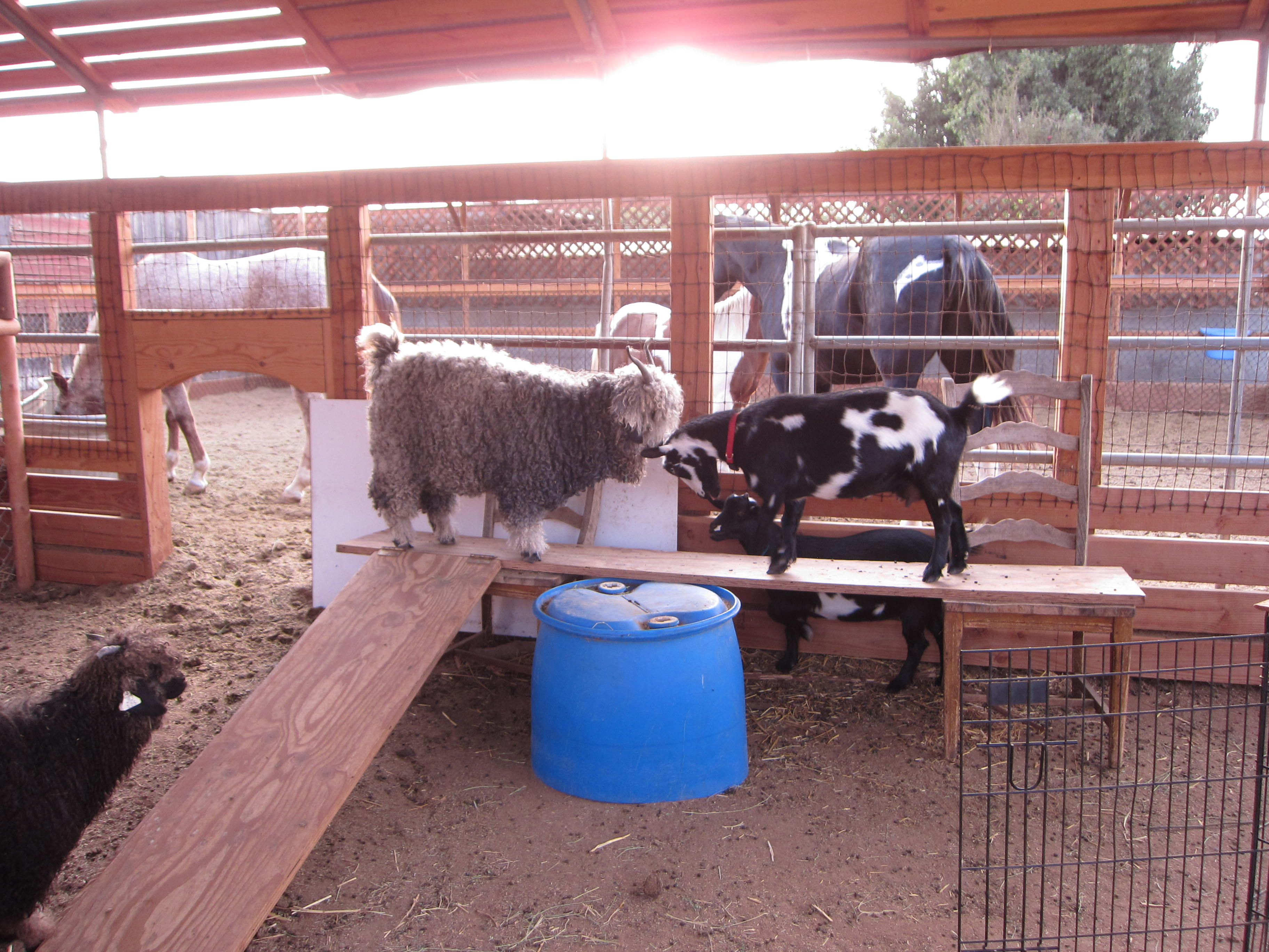 Goats! For milk and for fiber. They have plenty of room to run around and climb.