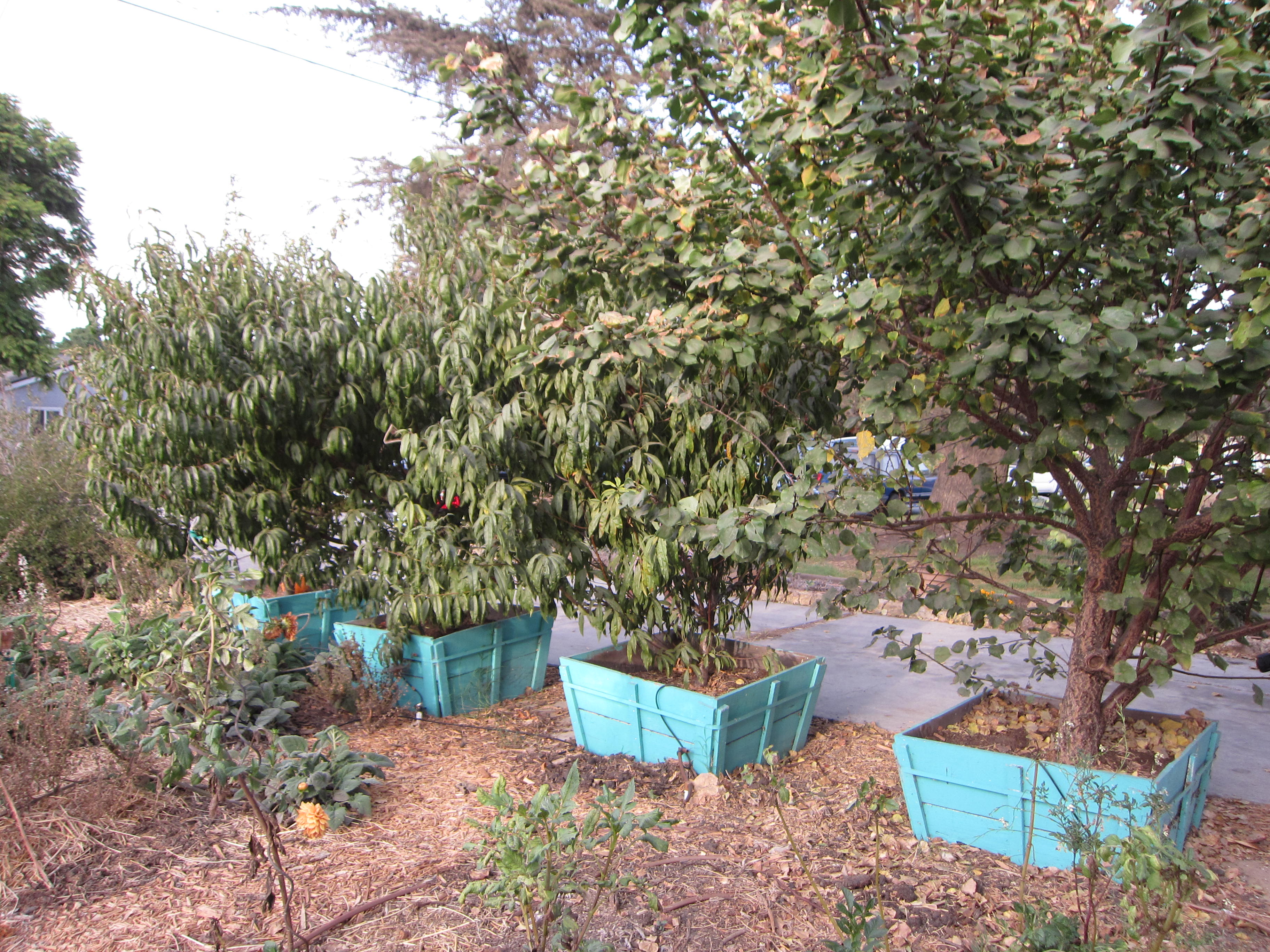The front yard has fruit trees, California native plants and more.