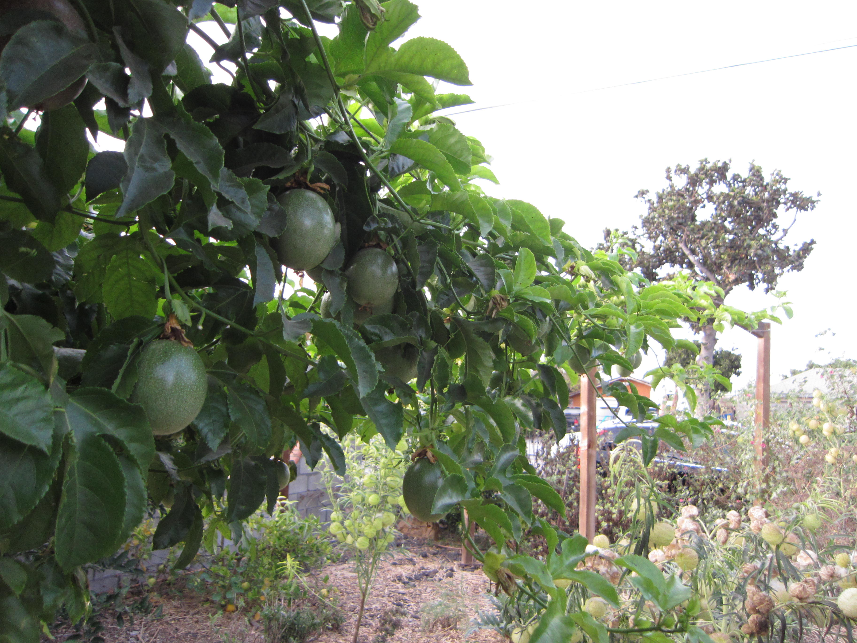 Passion Fruit climbs a wire toward some recycled arches across the garden.