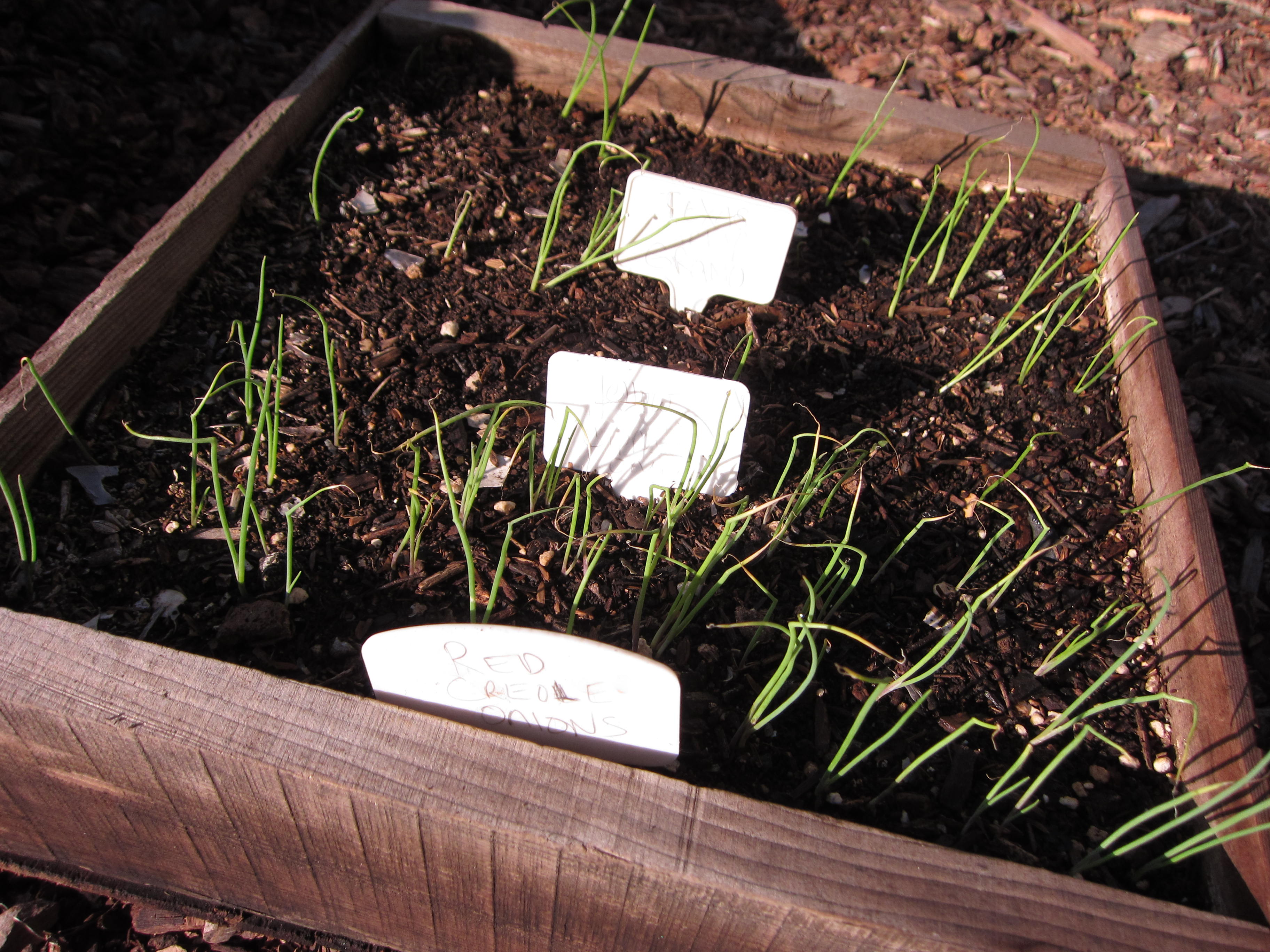 3 types of onions grow in a biointensive seed flat before planting out.