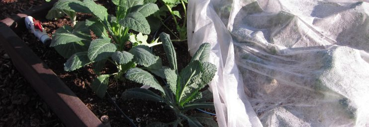 8 different kale varieties are protected by floating row cover. No cabbage moths/worms here!