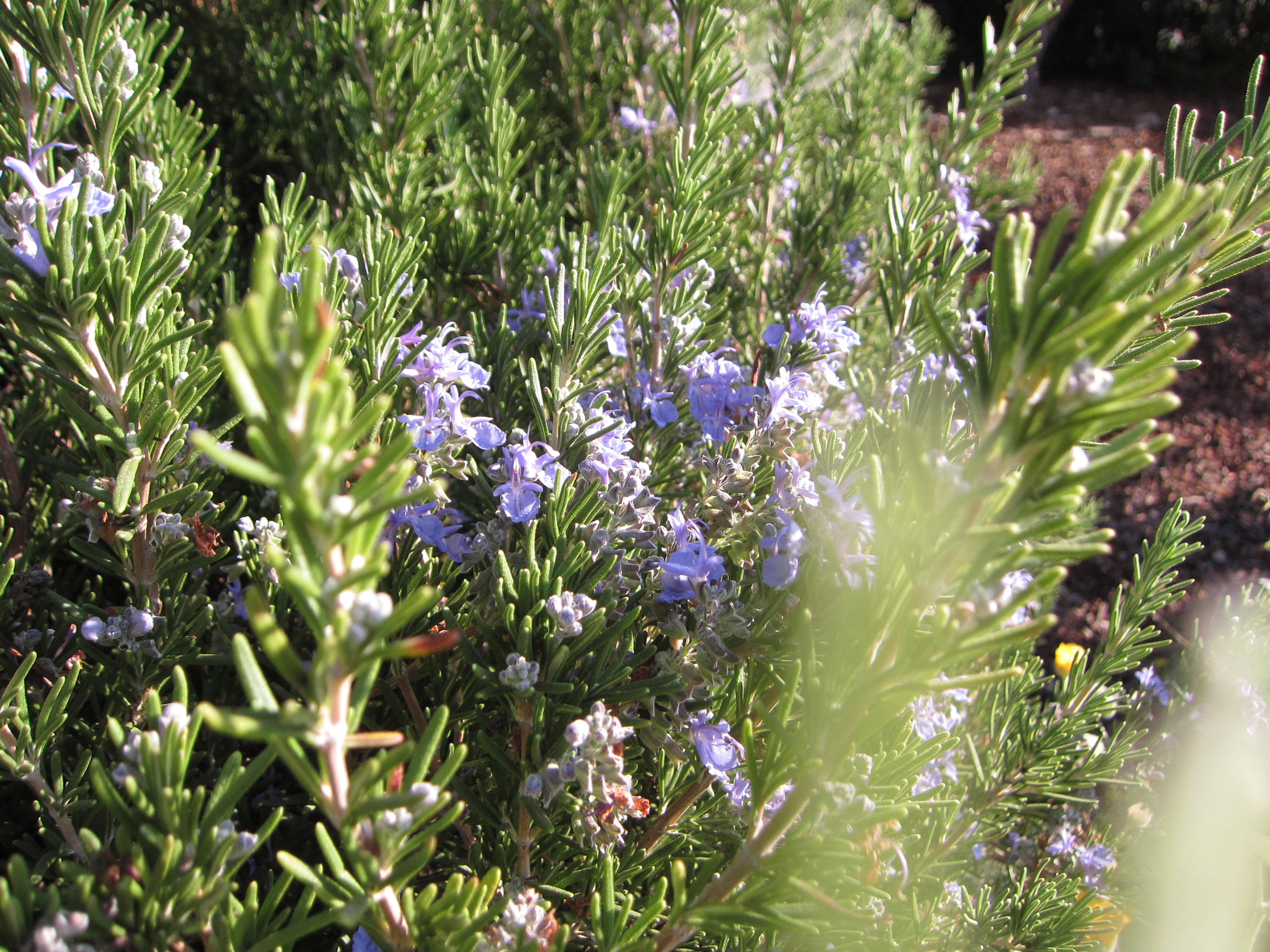 Rosemary is flowering now. We'll prune it back by a third when flowers finishing.