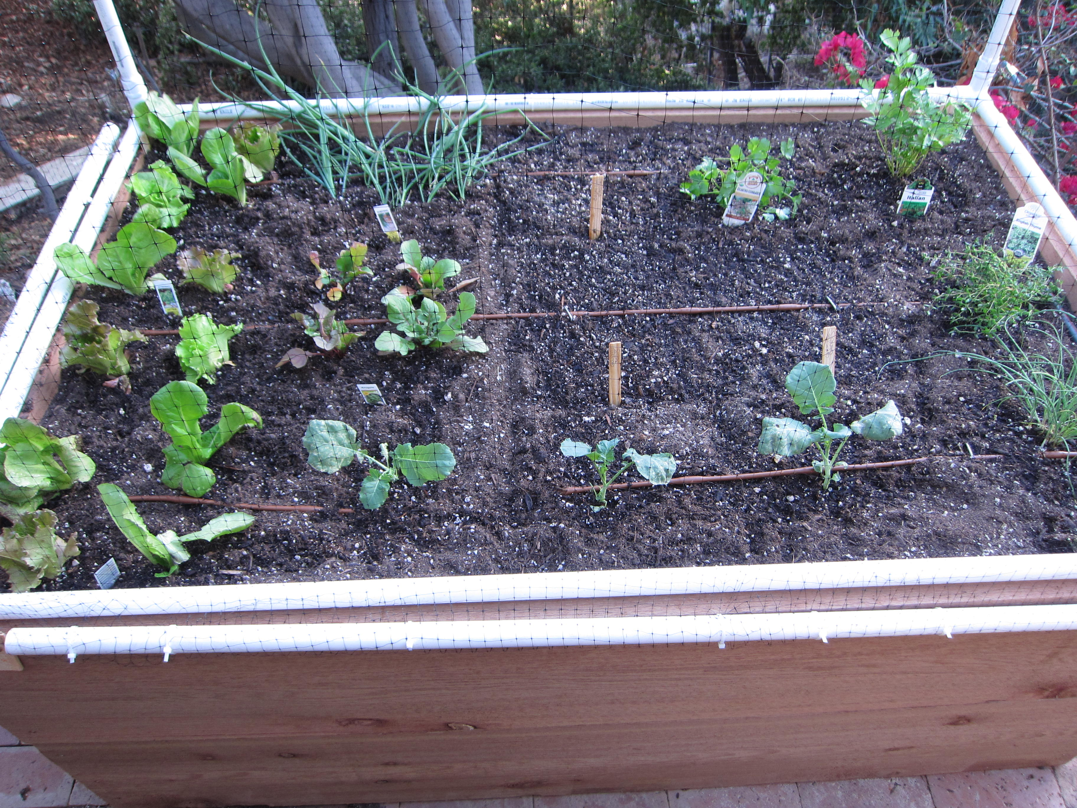 Fall crops for roots and leaves populate our garden.