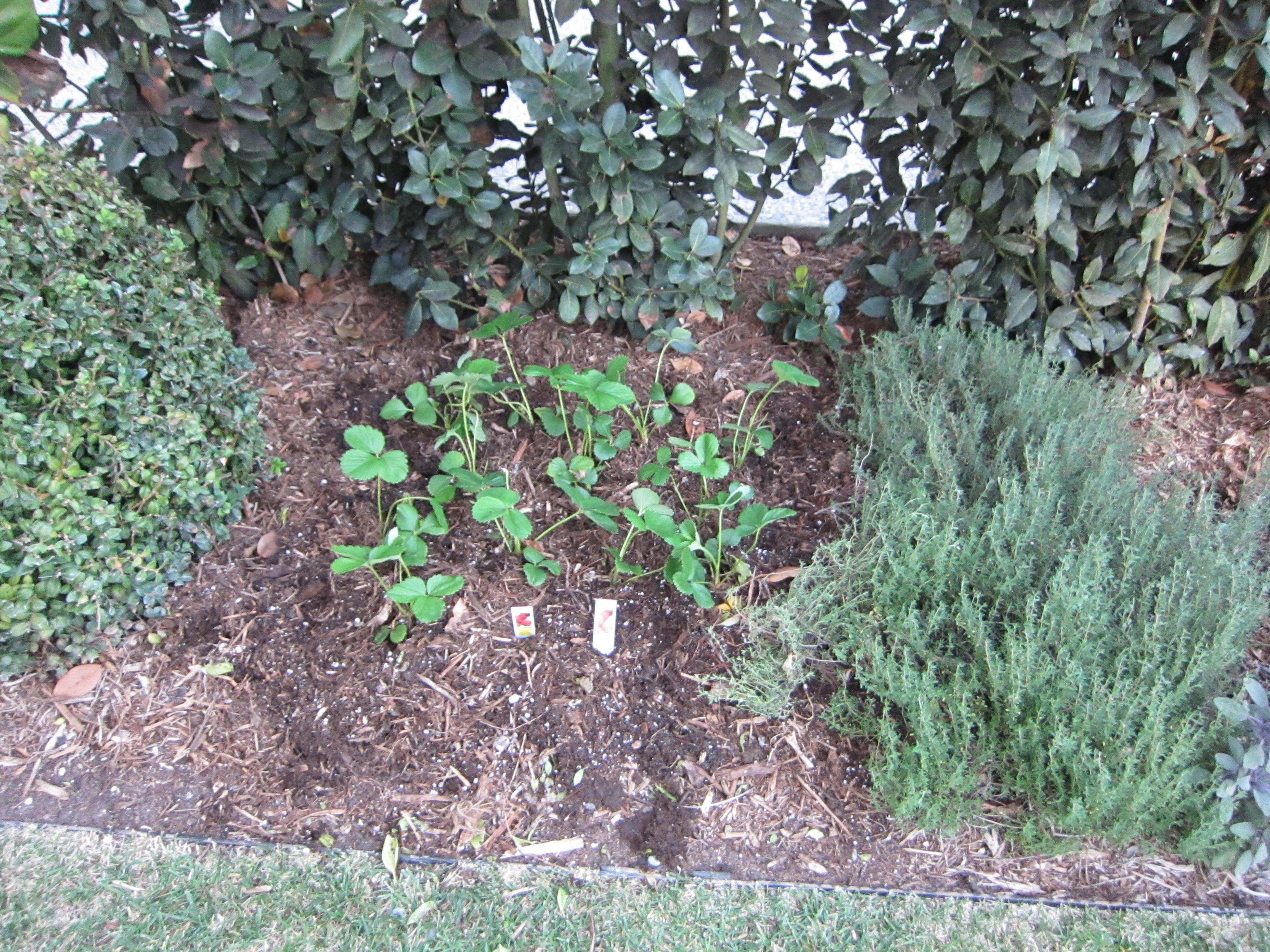 Strawberries were added to an in-ground planter bed in a corner away from trampling feet.