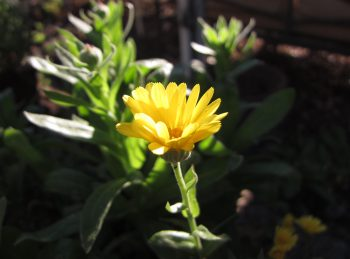 Calendula re-seeds itself every year here at Gardenerd HQ. It is native to the Mediterranean.