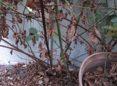 Prune blackberry canes that have turned brown. Leave green canes in place.