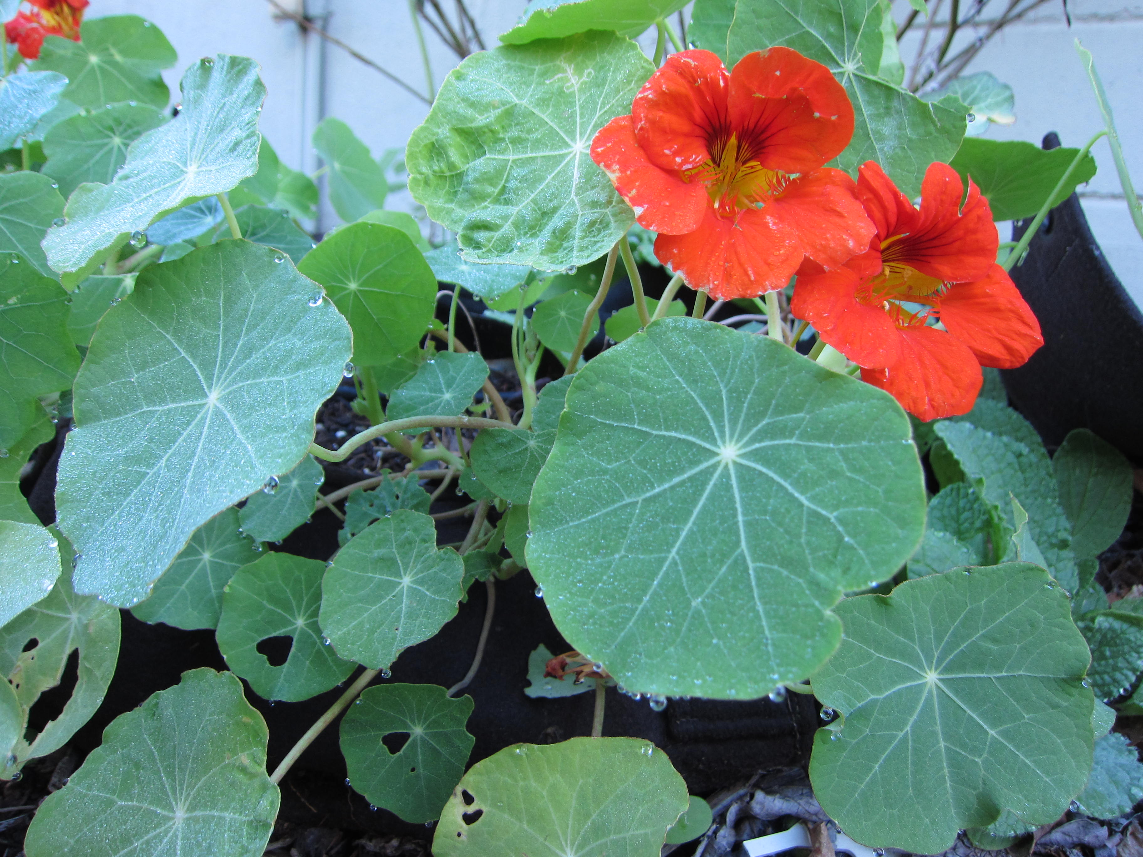 Nasturtiums are always our first flowers to show