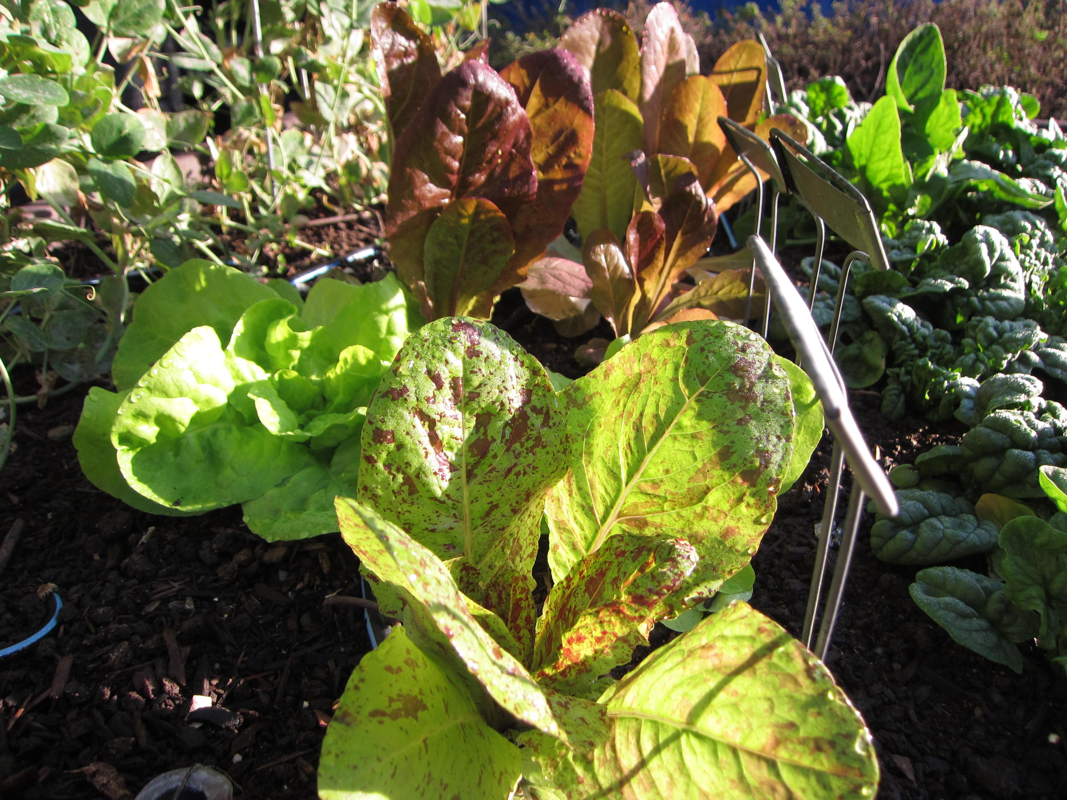 Forellenschluss, Kwiek, 4 Seasons lettuces drink up the sun.
