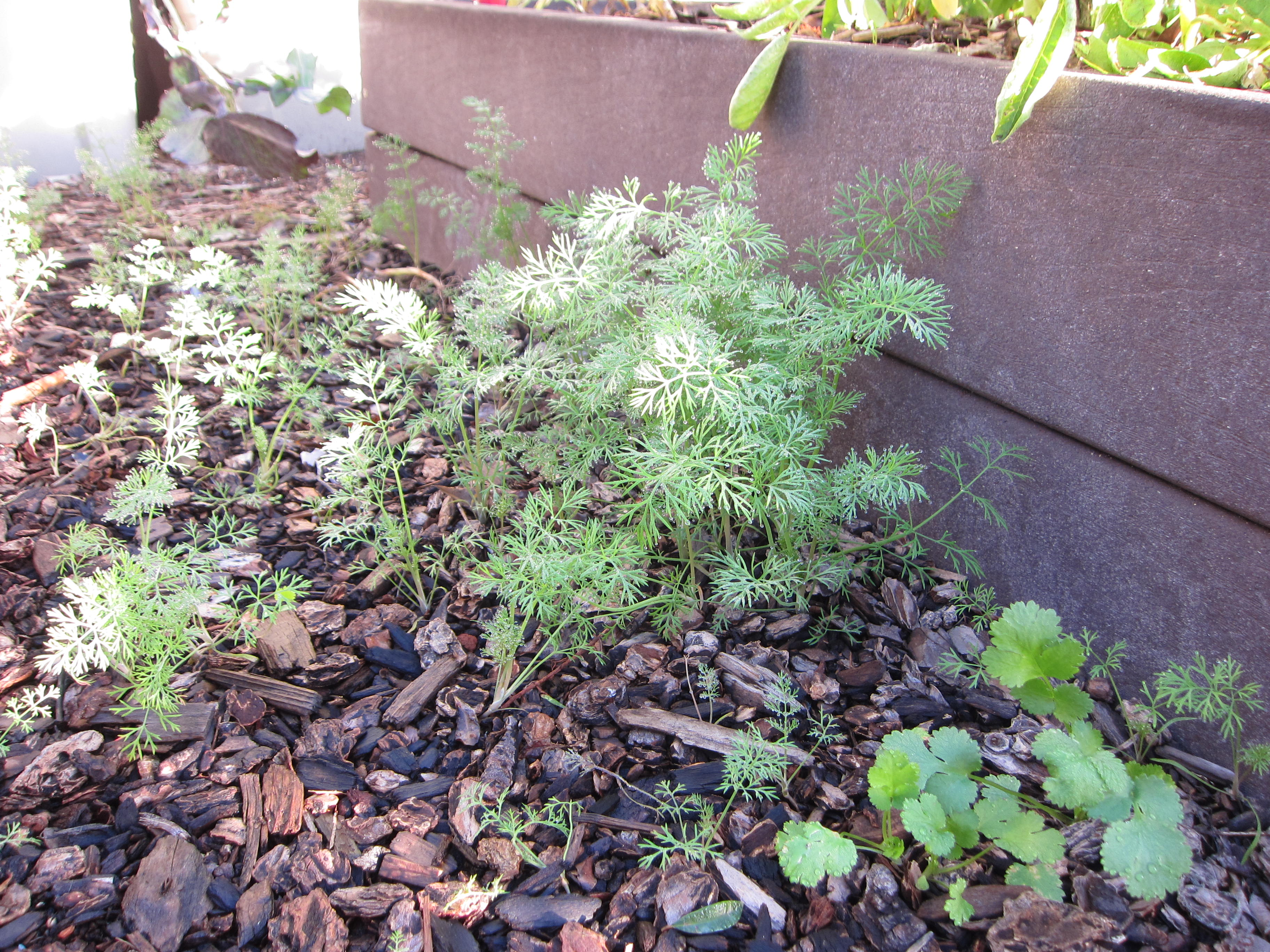 Volunteer dill (the best kind) and cilantro pop up between raised beds.