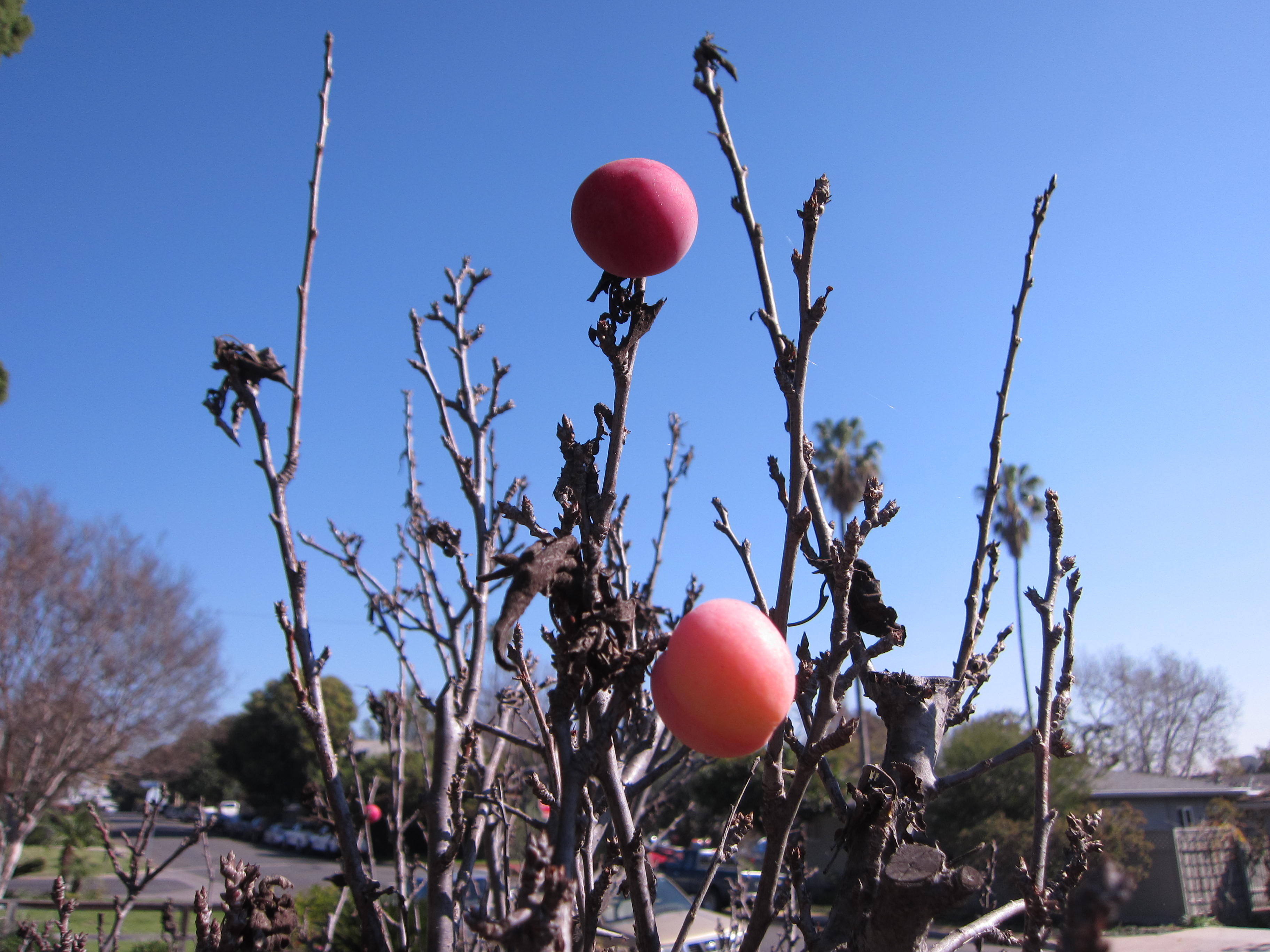 Tiny plums set fruit in November this year.