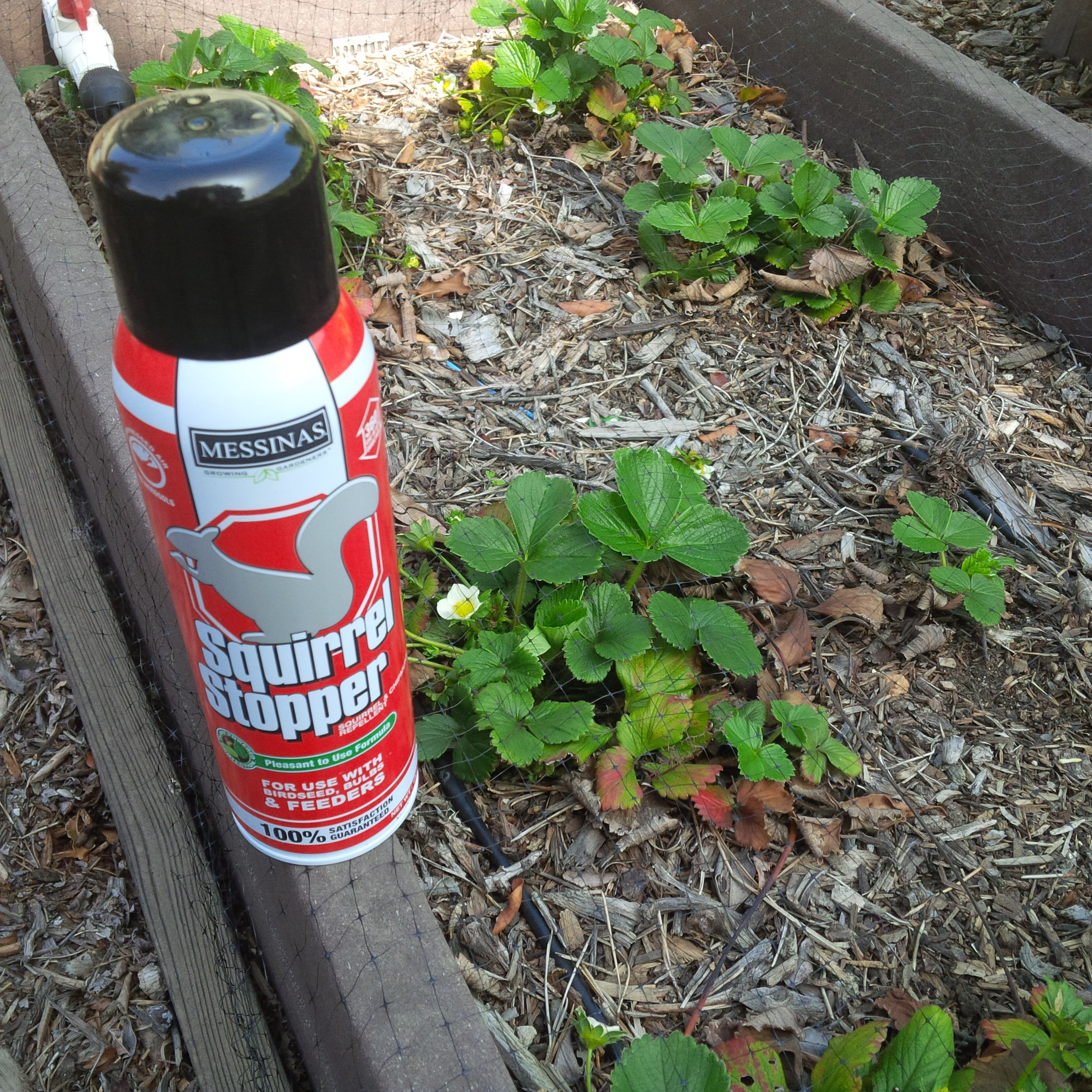 Messinas Squirrel Stopper. We'll give it a try on our strawberry patch.
