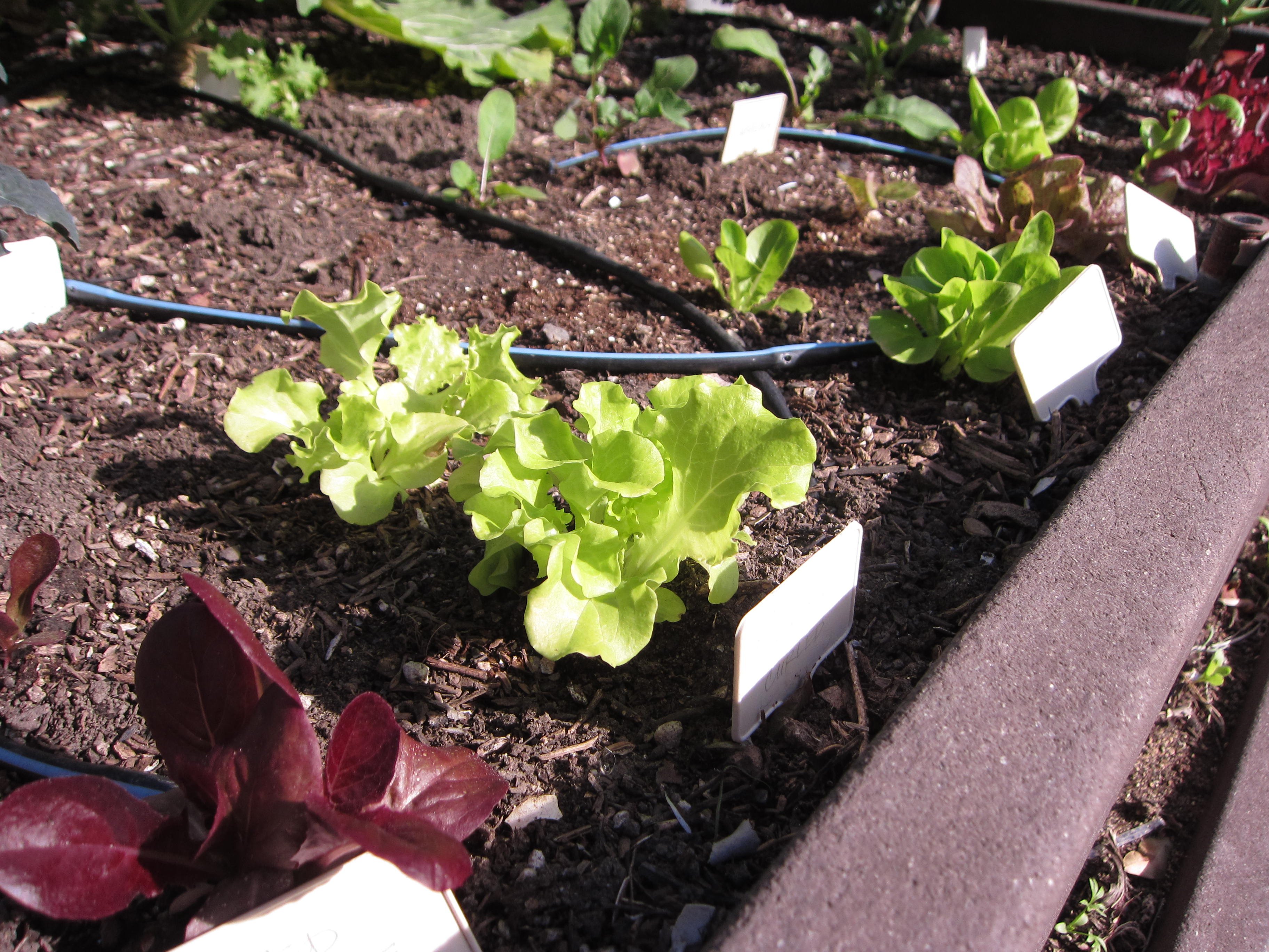 A spring crop of lettuces replace kale that grew in this bed.