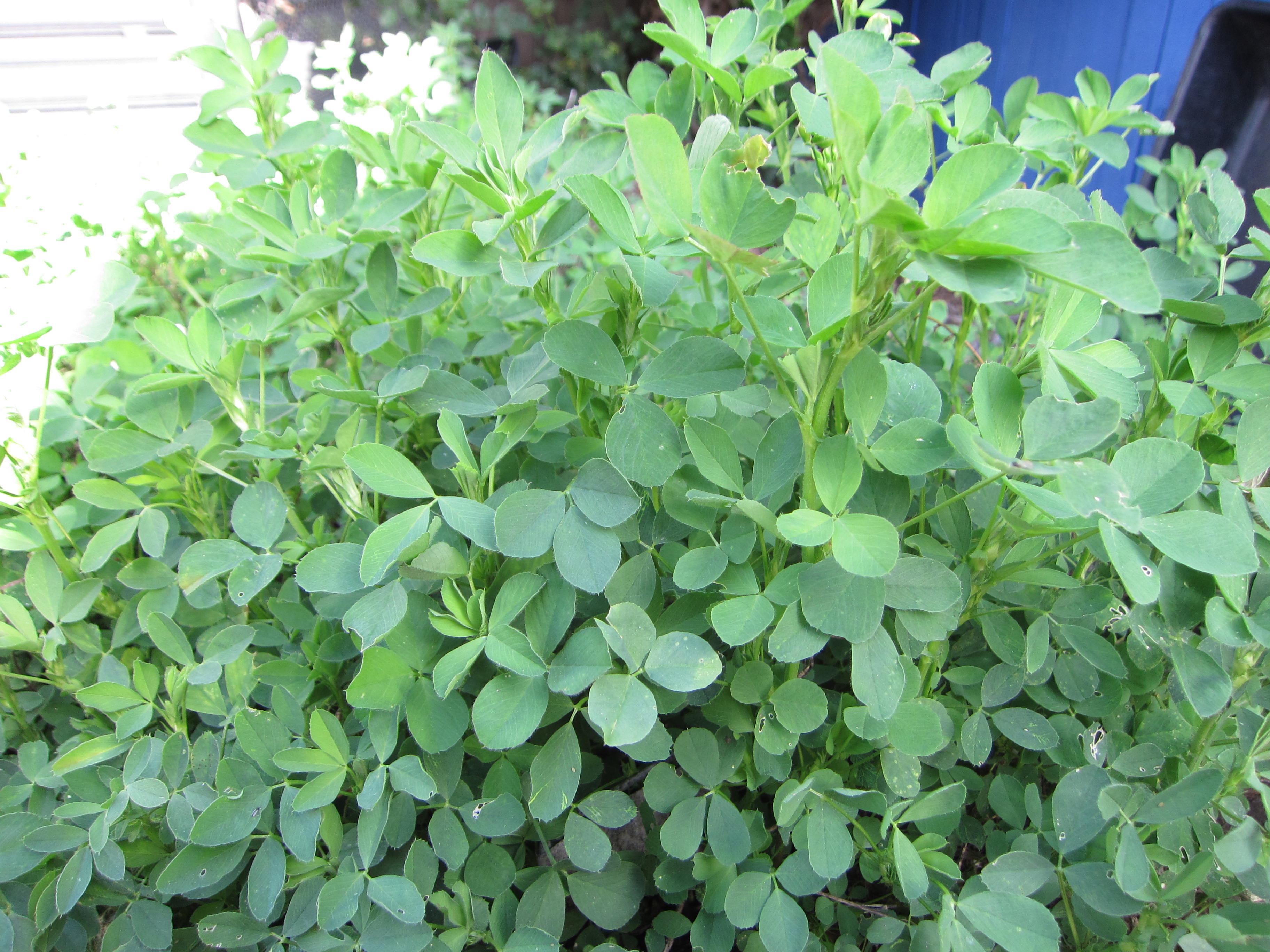 Perennial alfalfa springs to life again after a winter of dormancy. We use this as a high-nitrogen ingredient in compost piles.