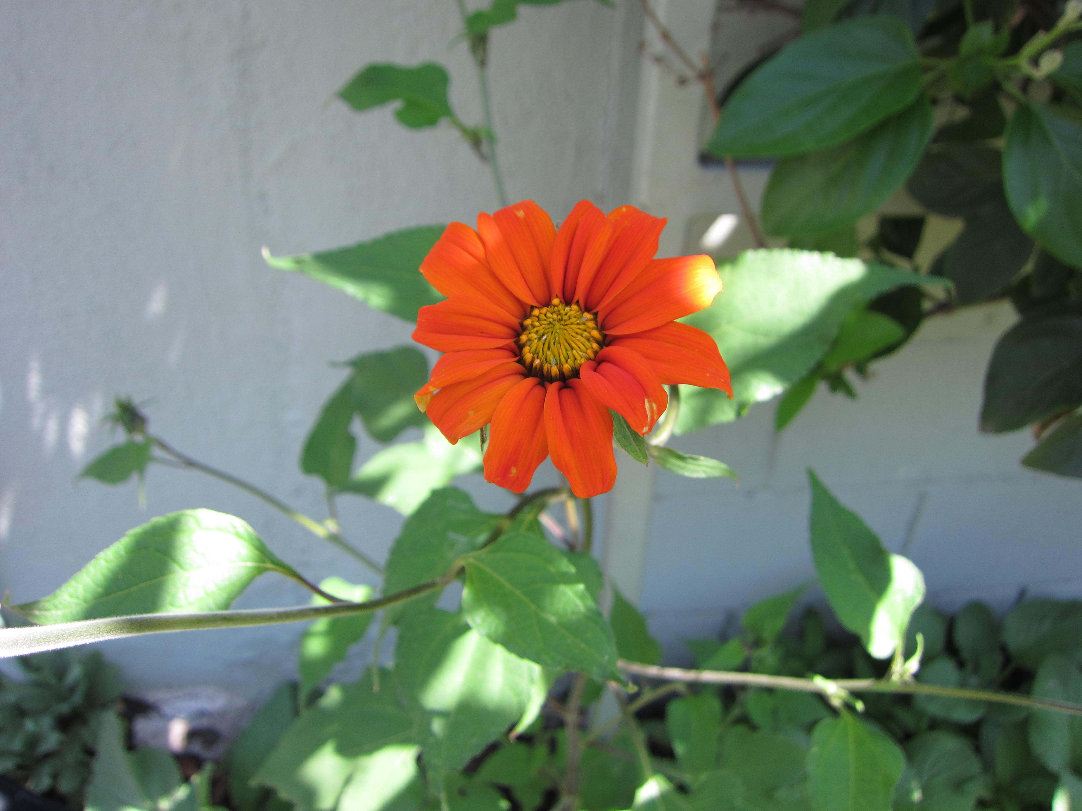 Trying Tithonia (Mexican sunflower) for the butterflies this year. Success!