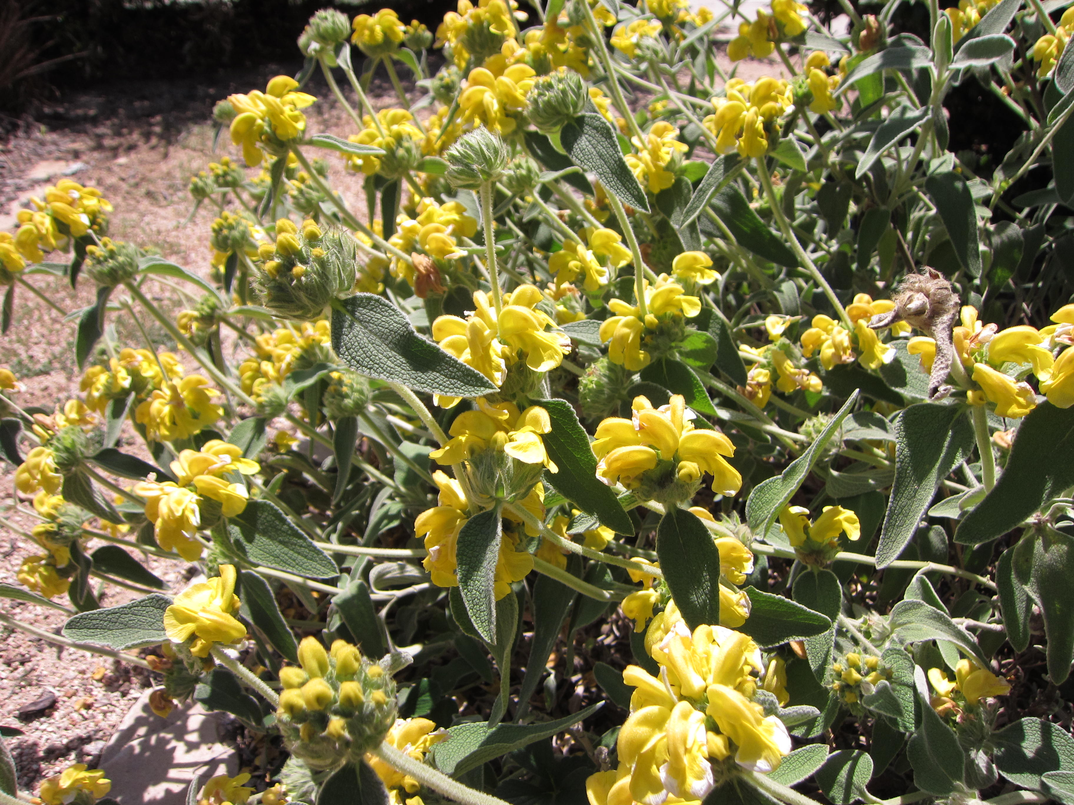 Jerusalem sage is going off right now.