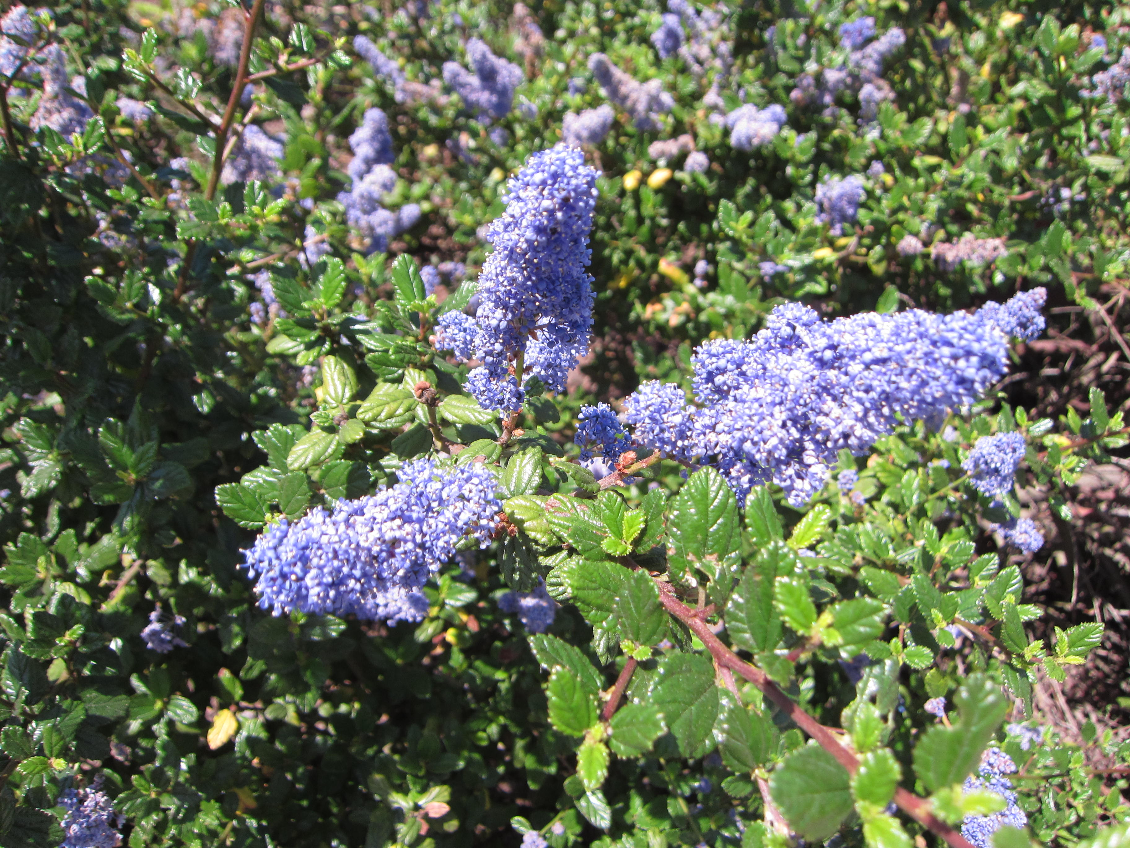 The bees are loving this Ceanothus (California Lilac).