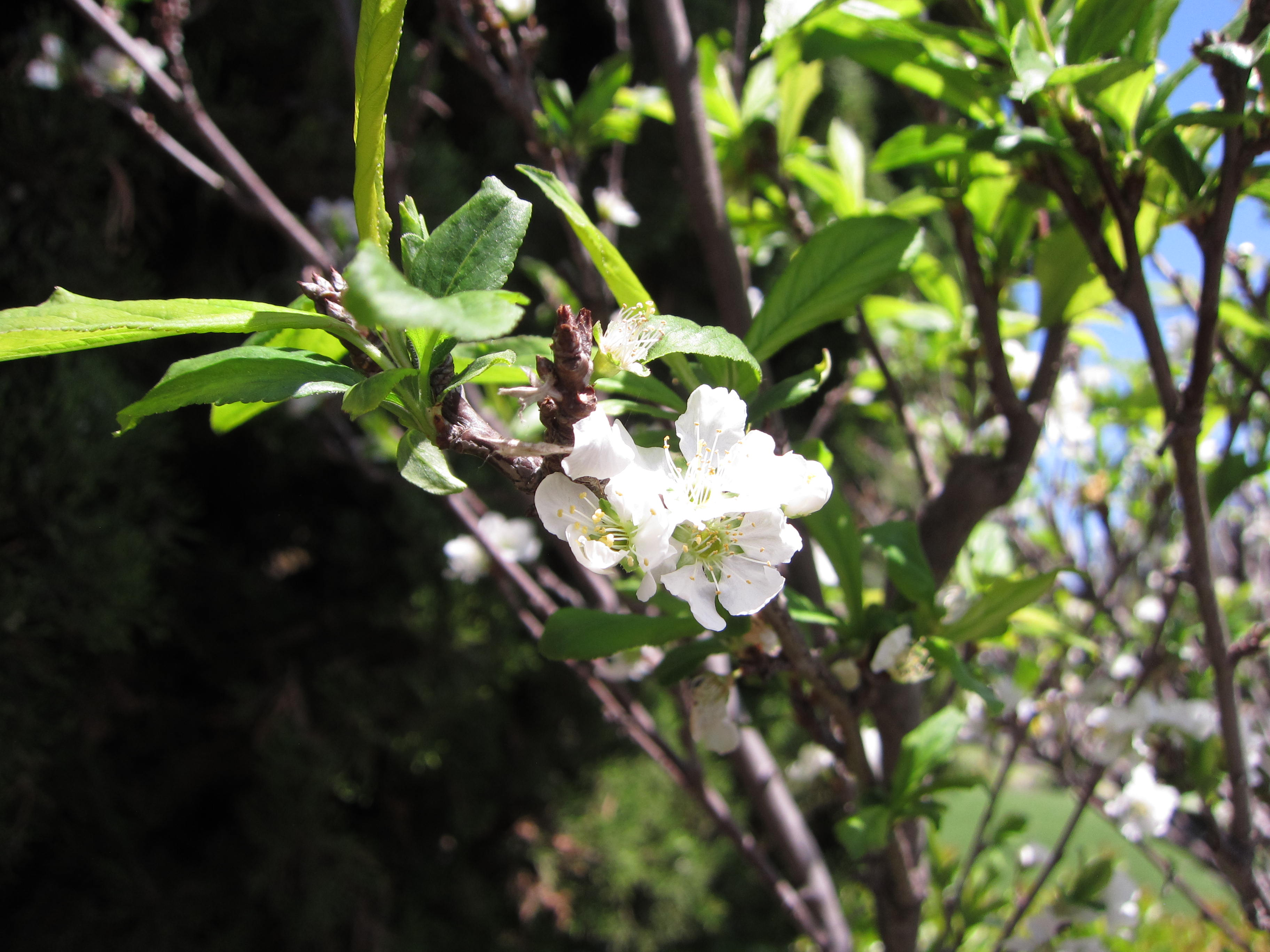 Santa Rosa plum is starting to flower and leaf out. Come July we'll have deep red fruits.