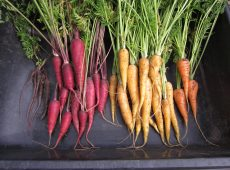 Carrot harvest includes (left to right) Pusa Asita, Cosmic Purple, Yellowstone and Red Core Chantenay.