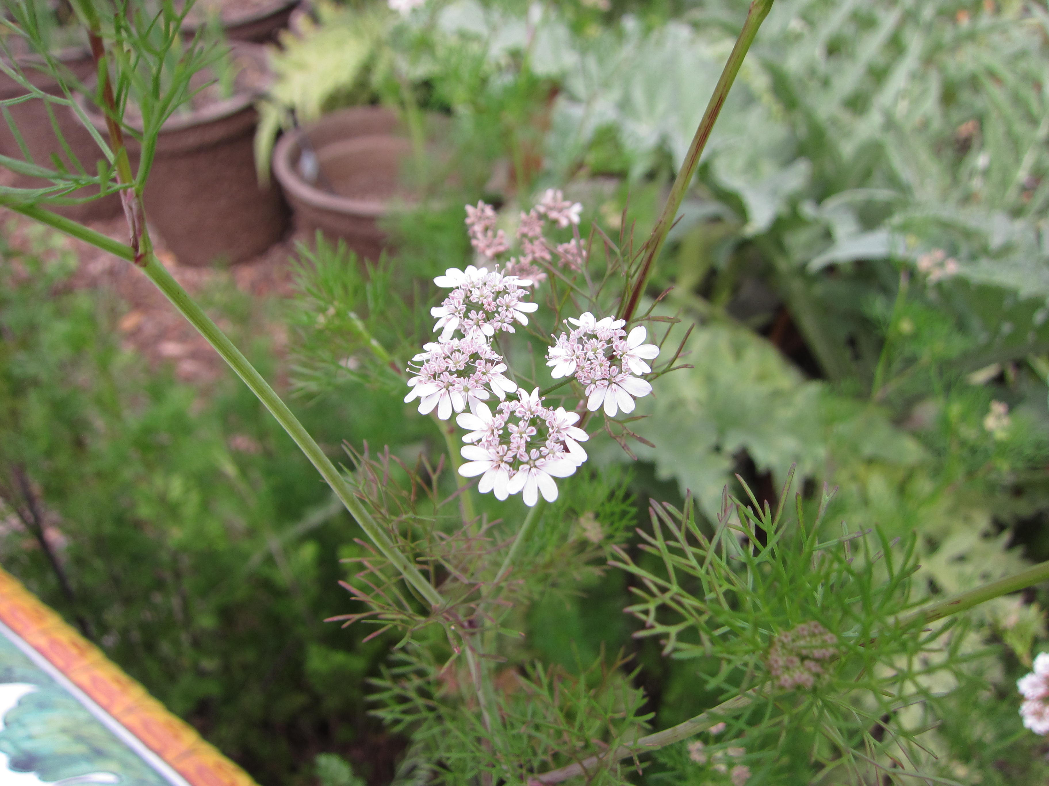 Let cilantro go to seed. It benefits bees., parasitic wasps and other beneficial insects. We'll let this re-seed itself and hopefully have cilantro again soon.