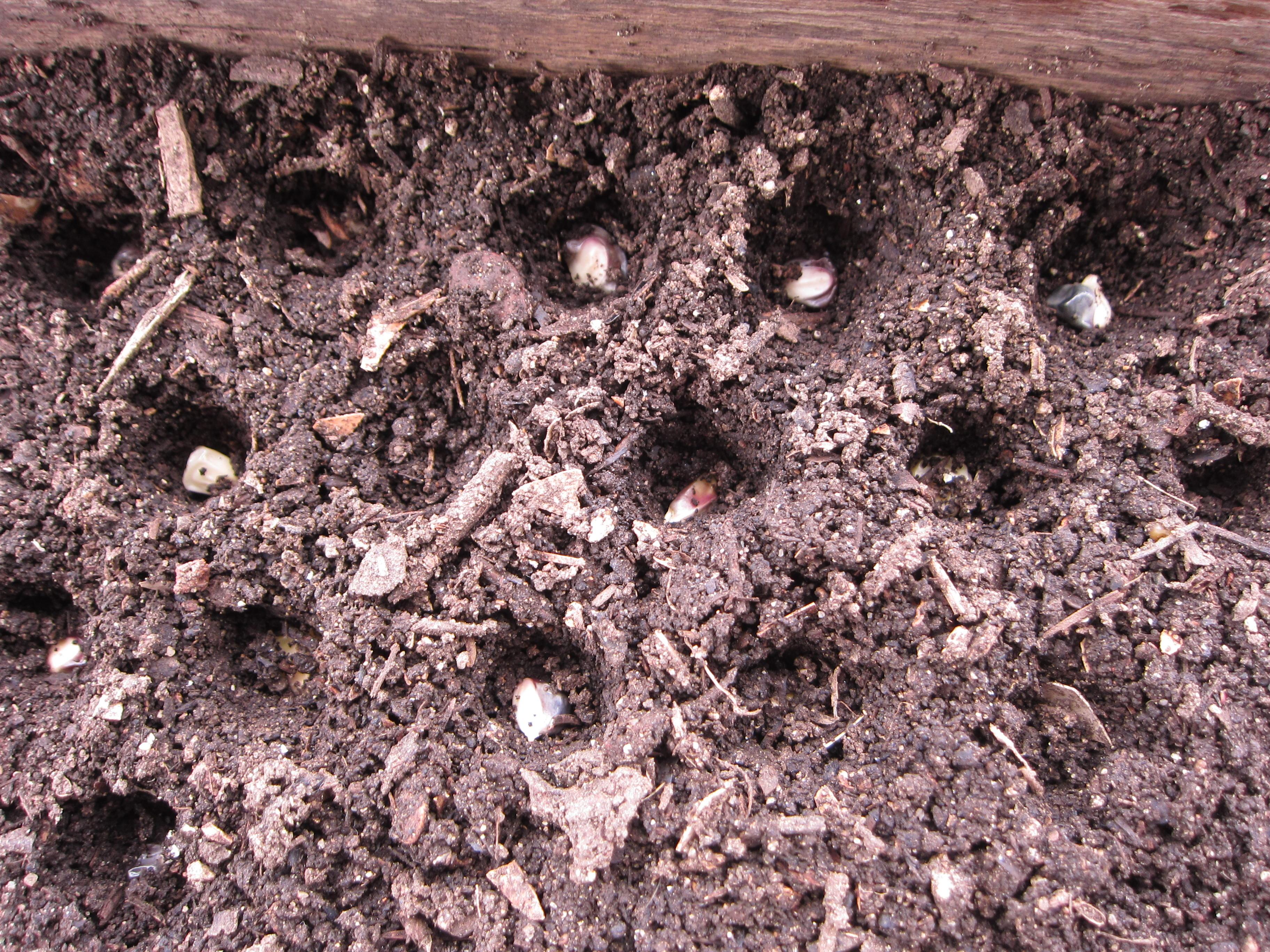 Seeding Triple Play sweetcorn in seed flats