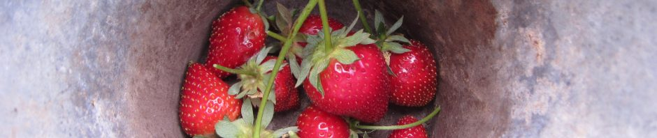 Fresh strawberries from everbearing plants. We love Seascapes! Feed with kelp emulsion every two weeks.