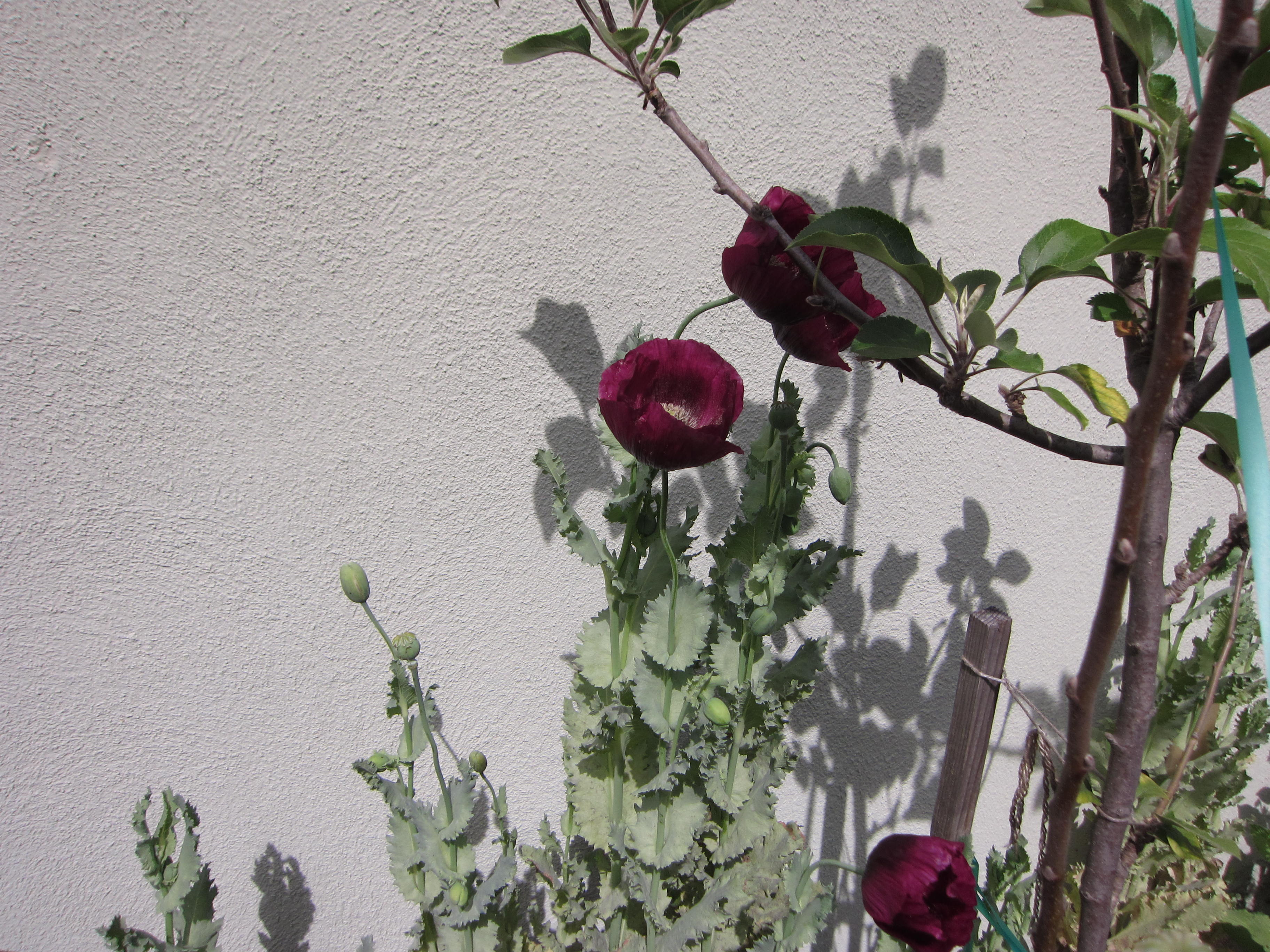 Lauren's Grape poppies intertwine with a Fuji apple tree. We'll let the seeds scatter for more poppies next year.