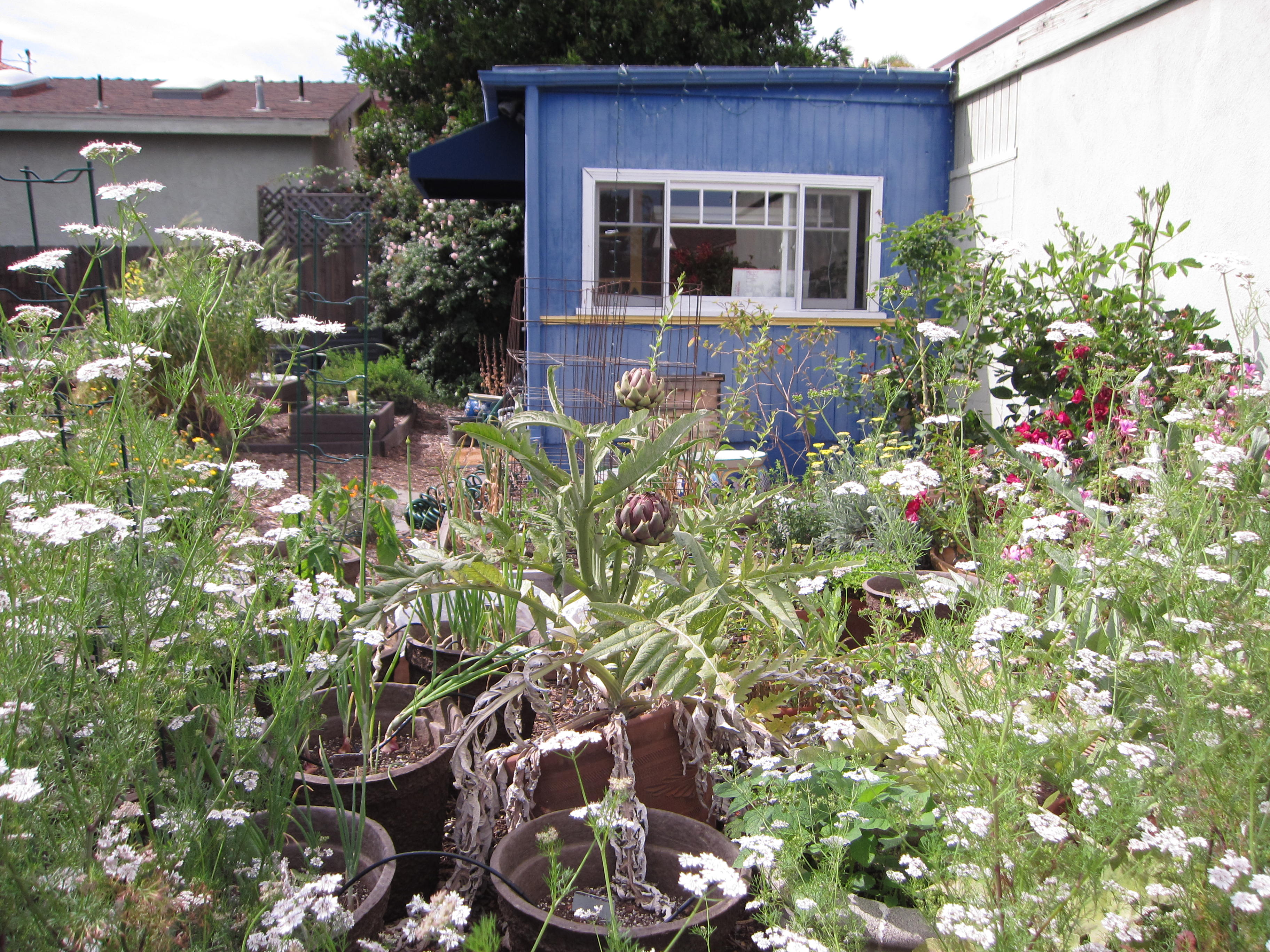We're letting a couple Winnetka Purple artichokes flower so we can save the seeds for the Seed Library of Los Angeles. Cilantro bolts to seed nearby, attracting good bugs to the garden. Volunteers are the best!