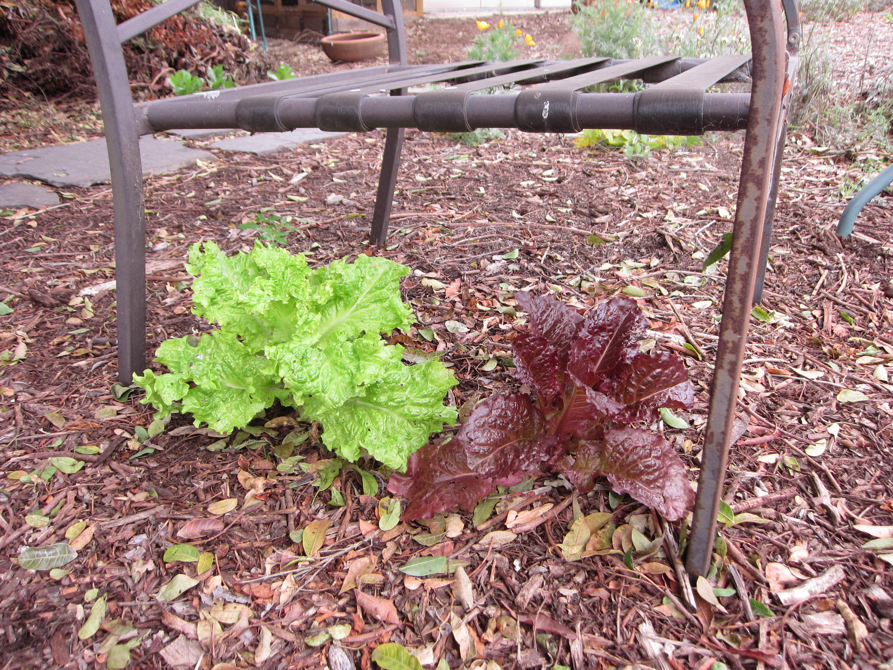 Lettuce volunteers under a lawn chair. We're feeding a few leaves to the chickens each day from here