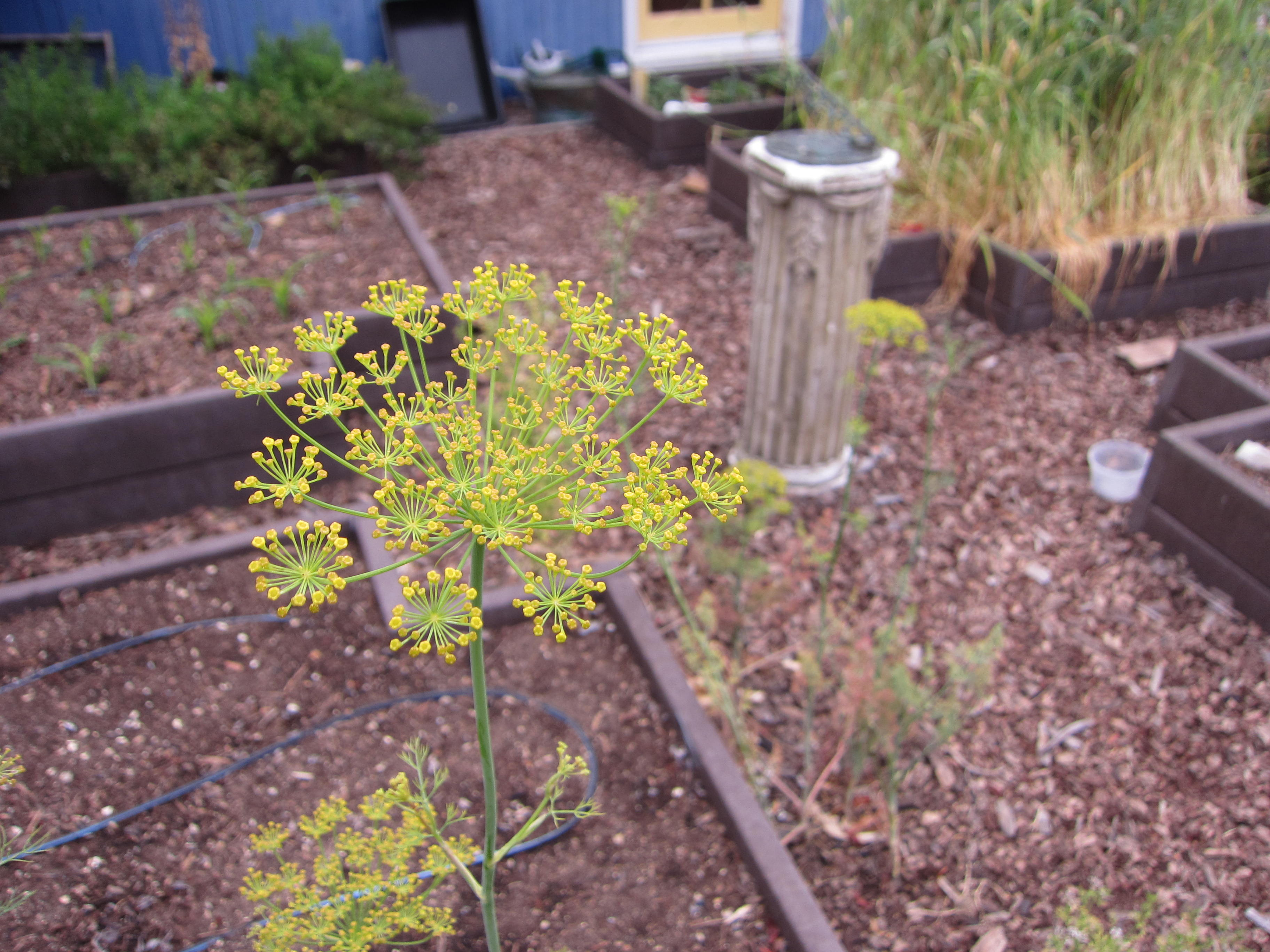 Another volunteer - dill makes a beautiful flower and attracts beneficial insects to the garden. We'll toss the seeds into the corners to continue the tradition.
