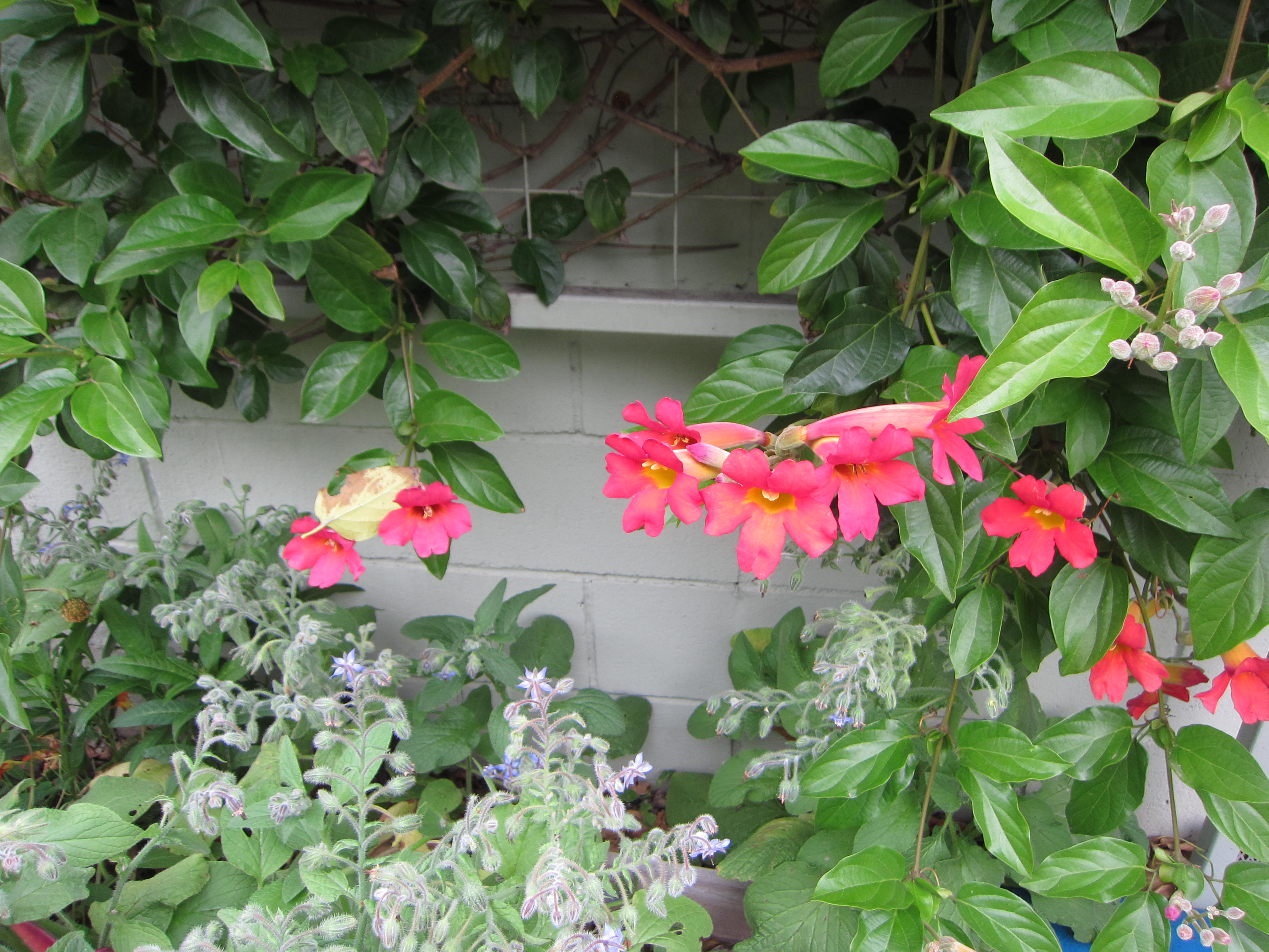 Trumpet vine attracts hummingbirds and borage satisfies bees. All for the greater good, and our enjoyment.