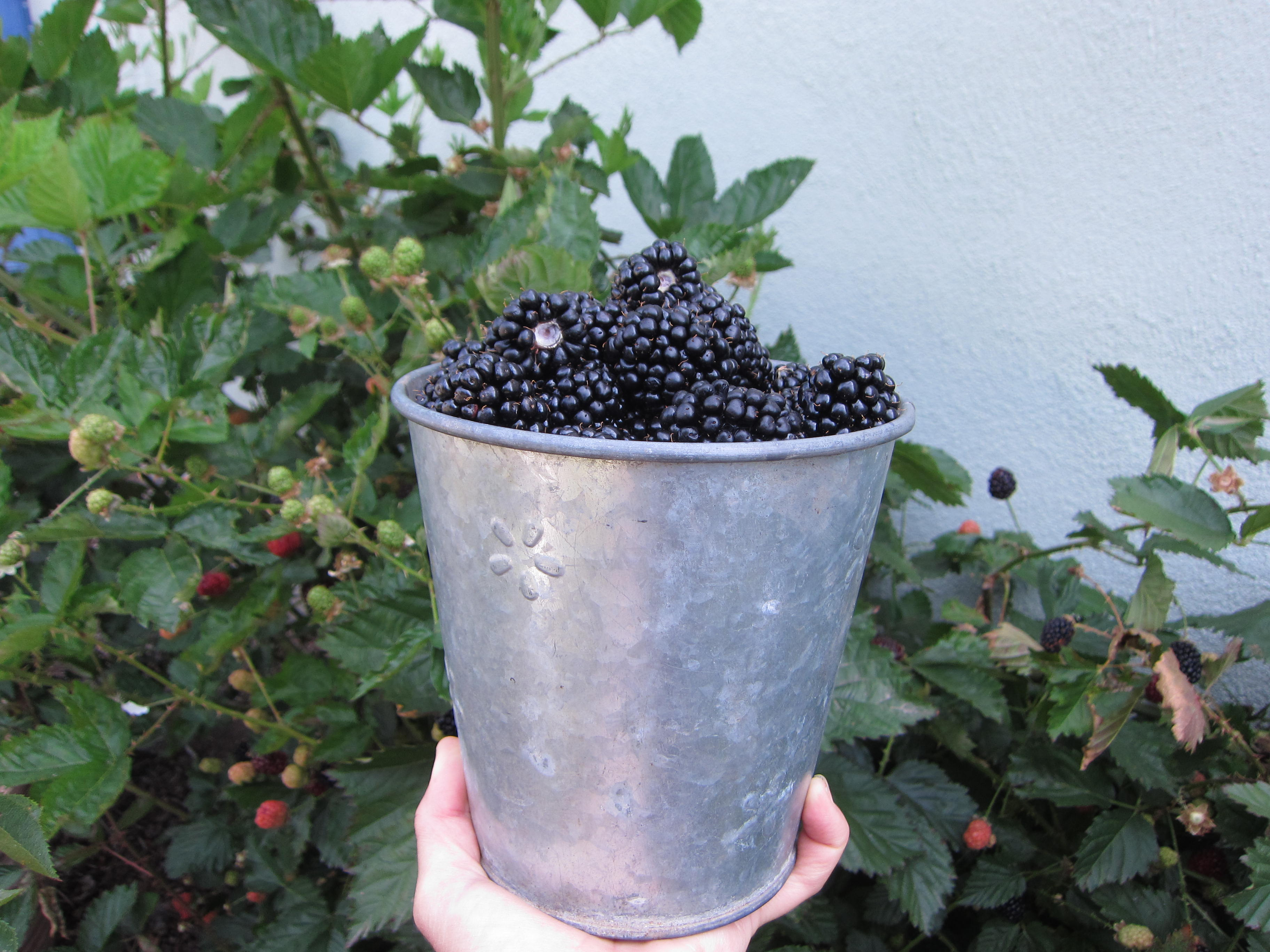 More than a quart of blackberries in one picking!