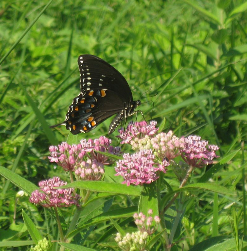 essential plants for a great butterfly garden