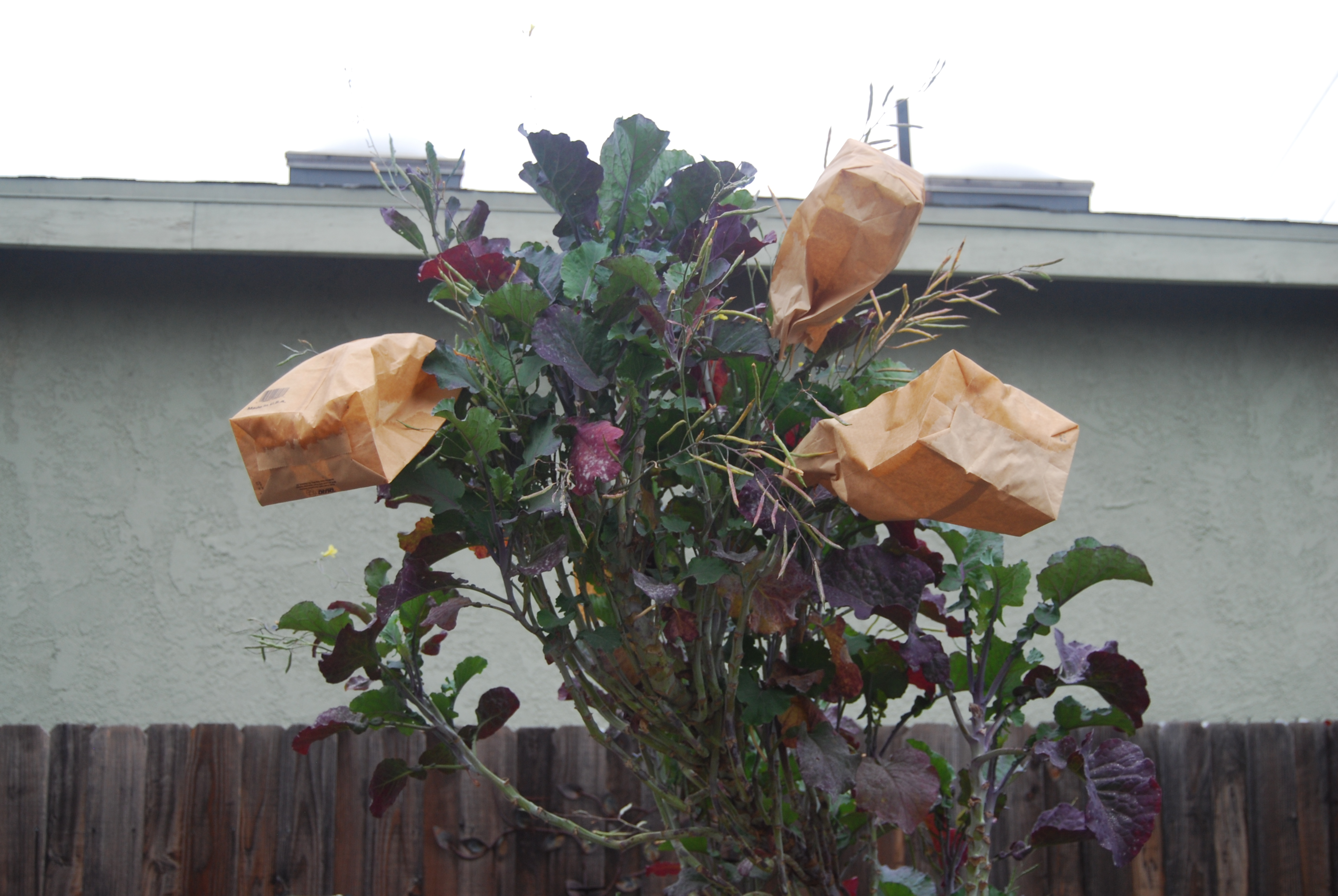 This tree kale was planted in 2013 from a cutting from Bountiful Gardens.