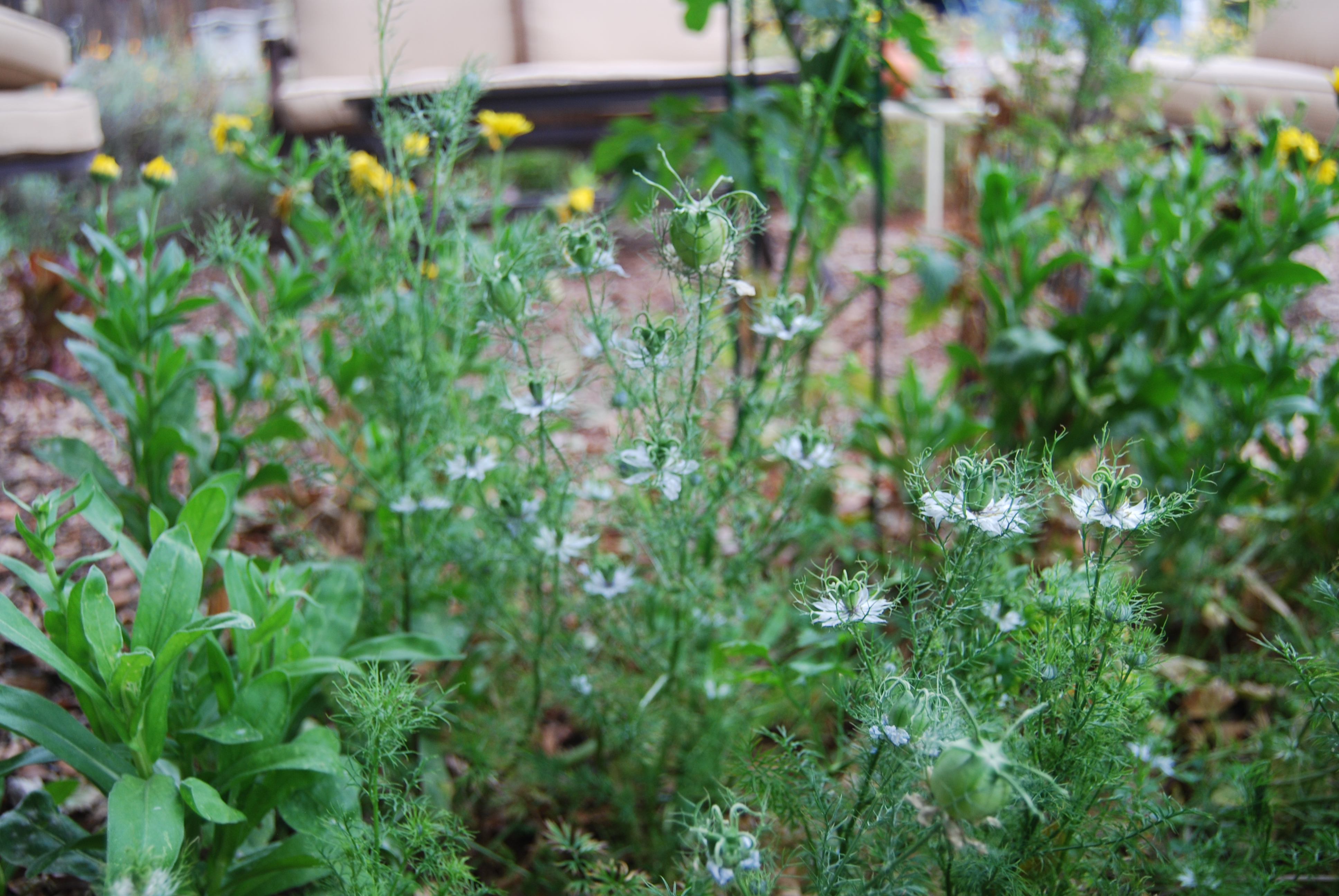 Volunteer Love-in-a-Mist, Calendula and other beneficials (even a tomato!) decorate the garden and provide pollen and nectar for insects.